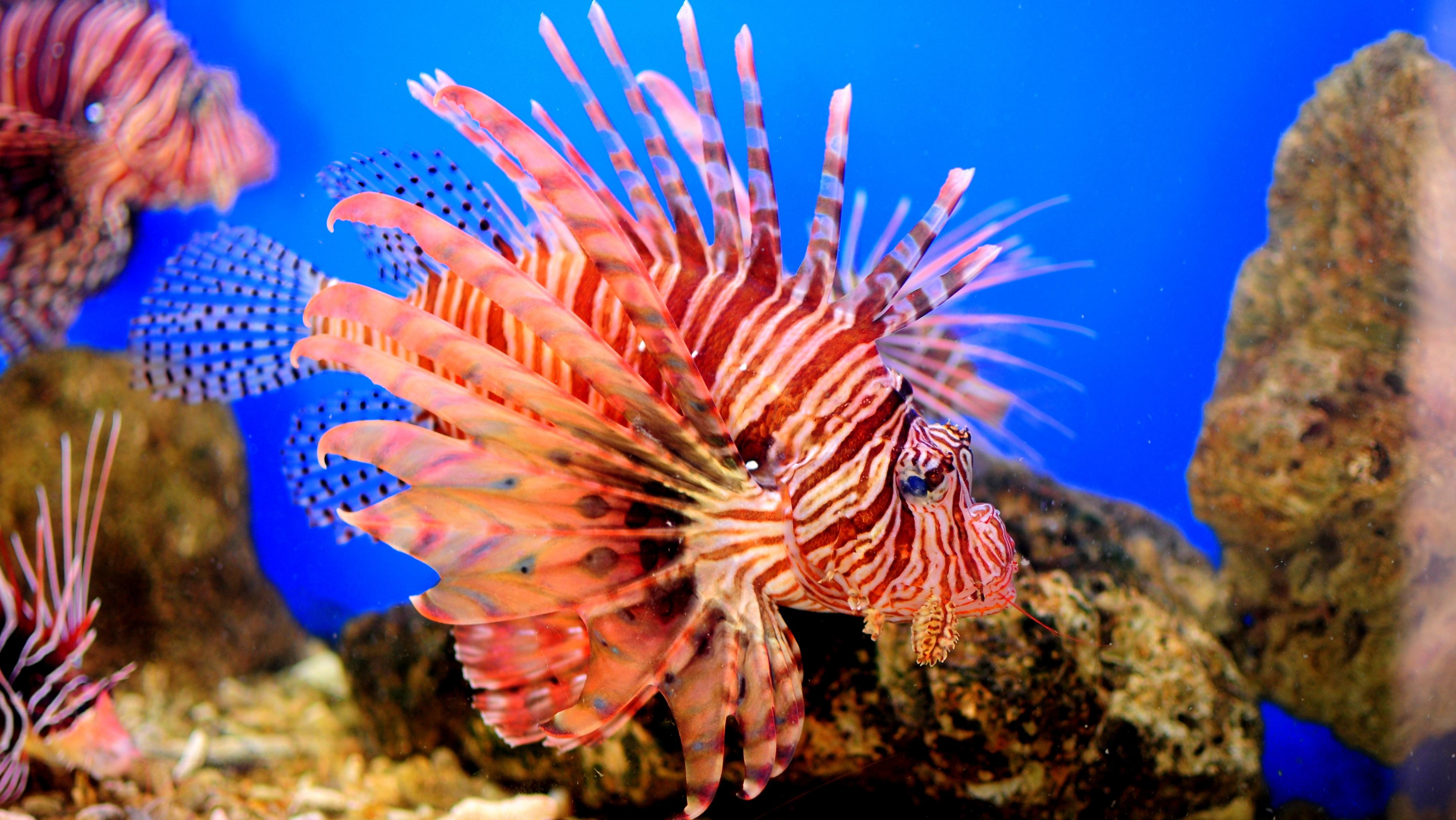 Fotoğraf Sualtı Biyoloji Balık Fauna Aslan Balığı Mercan