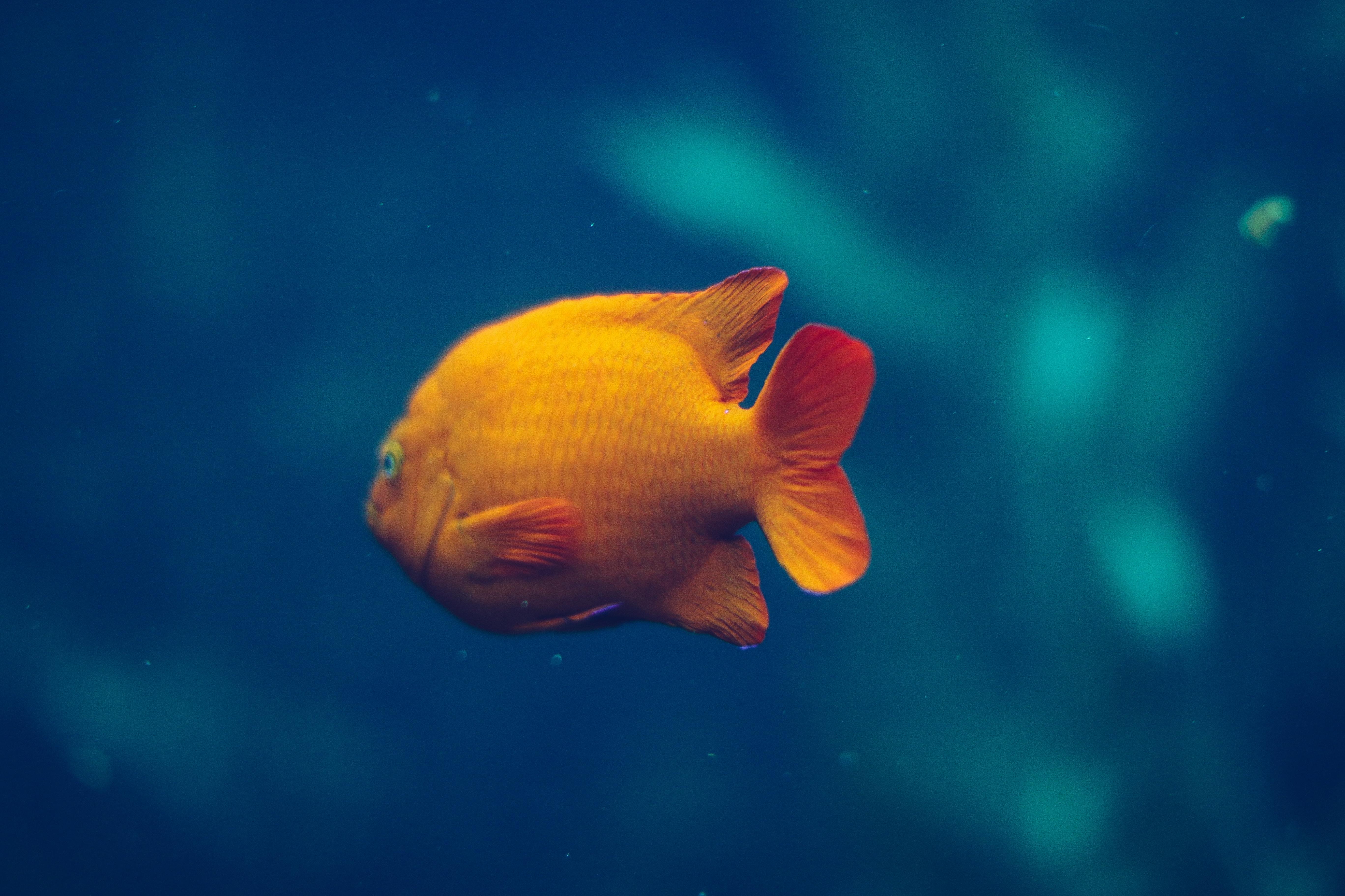 Free Images Underwater Aquarium Goldfish Marine