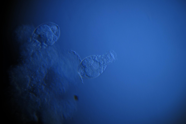 Ilmaisia kuvia vedenalainen biologia meduusa sininen