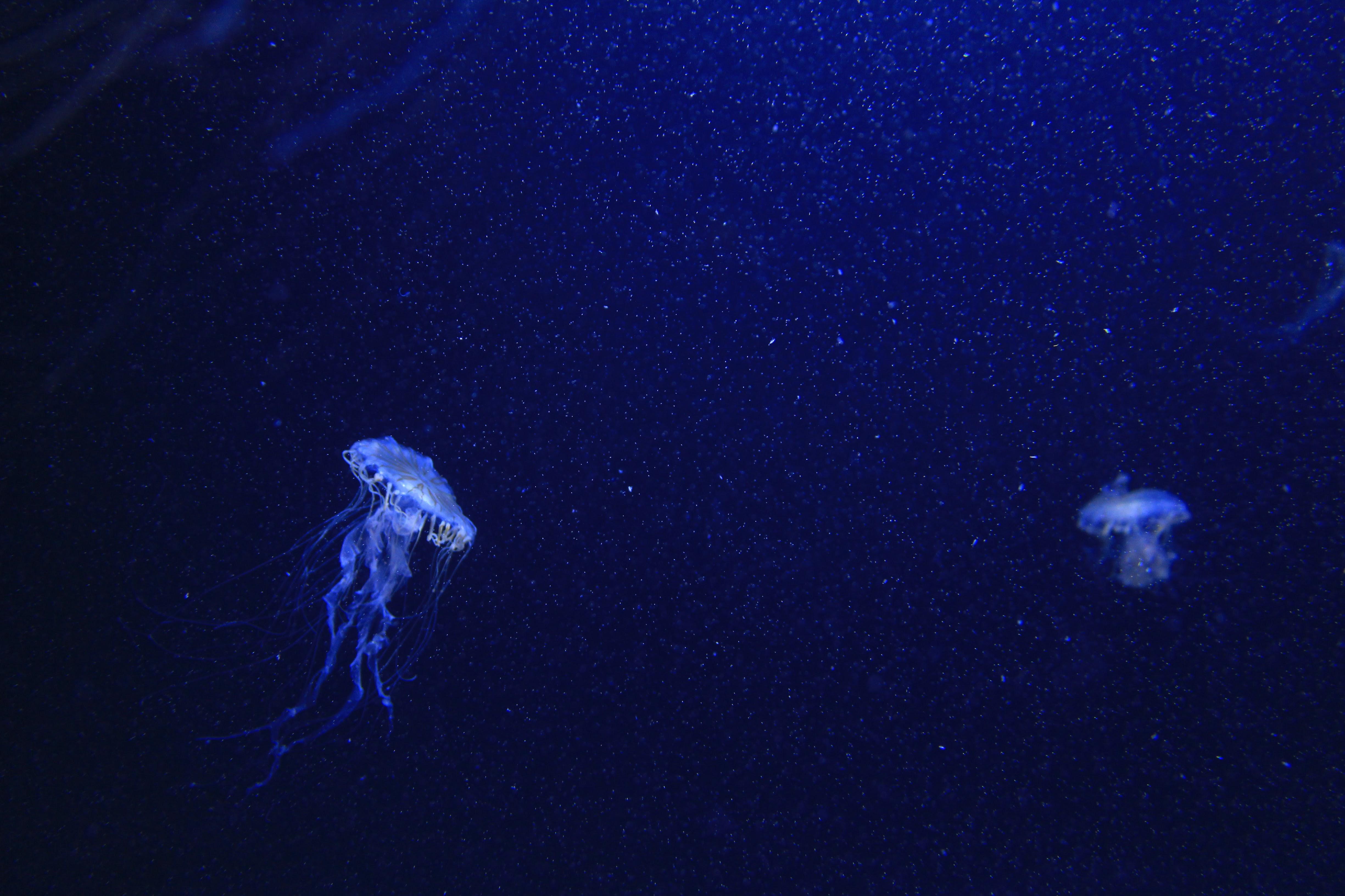 Darmowe Zdjecia Podwodny Biologia Meduza Niebieski