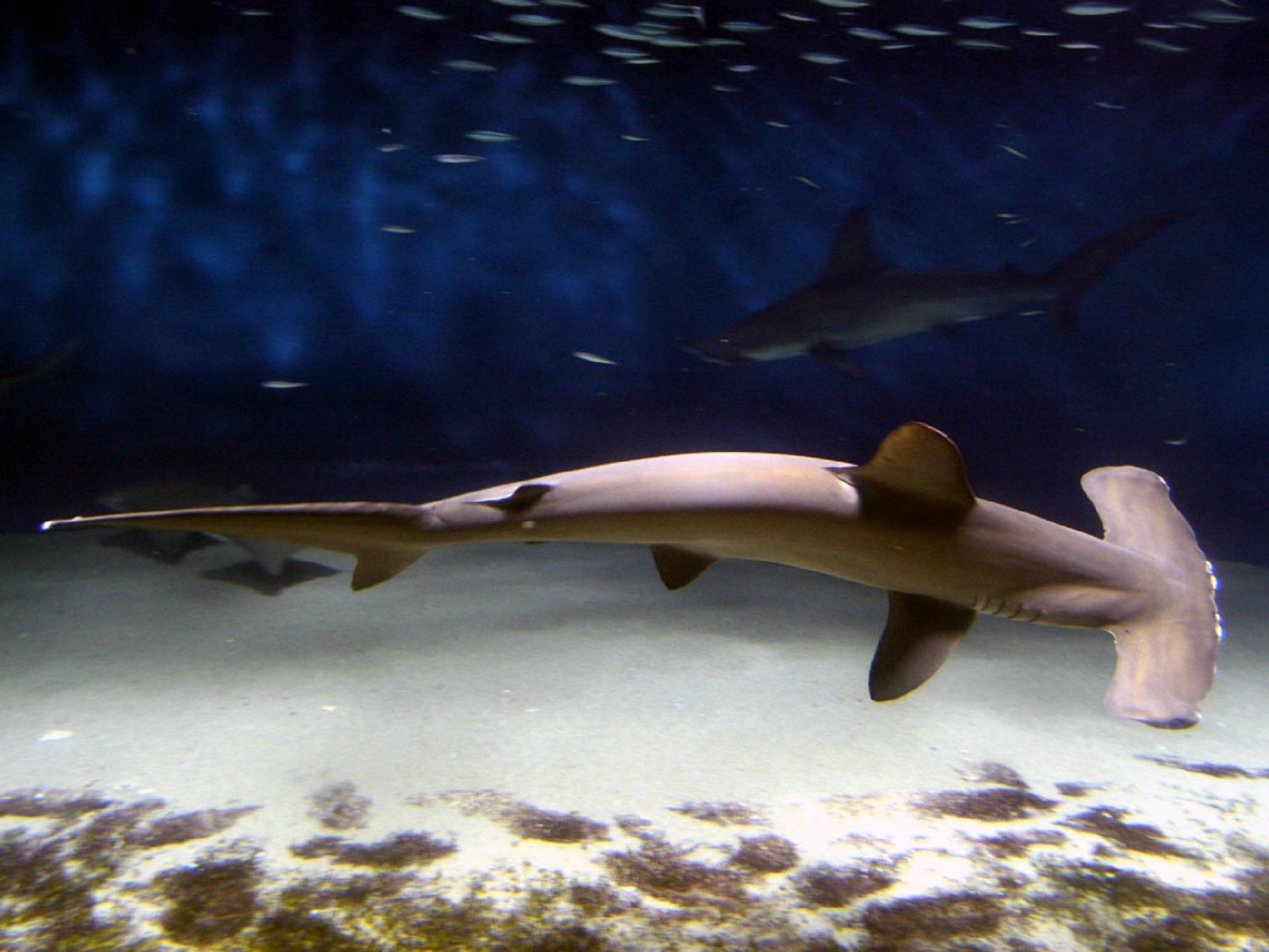 Hammerhead Shark Head | Free Images Underwater Predator Swimming Head Bottom Marine