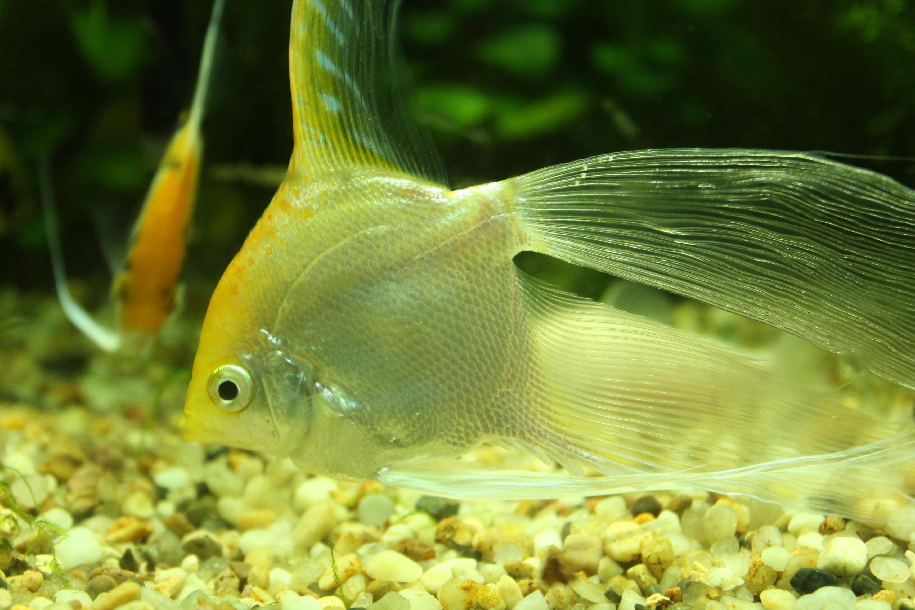 Free green yellow fish fauna close up goldfish