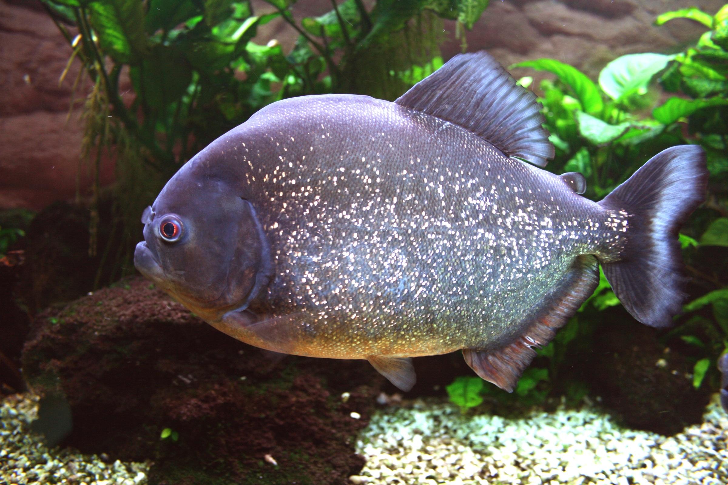 kostenlose foto unterwasser tropisch biologie raubtier fisch fauna schwimmen riff. Black Bedroom Furniture Sets. Home Design Ideas