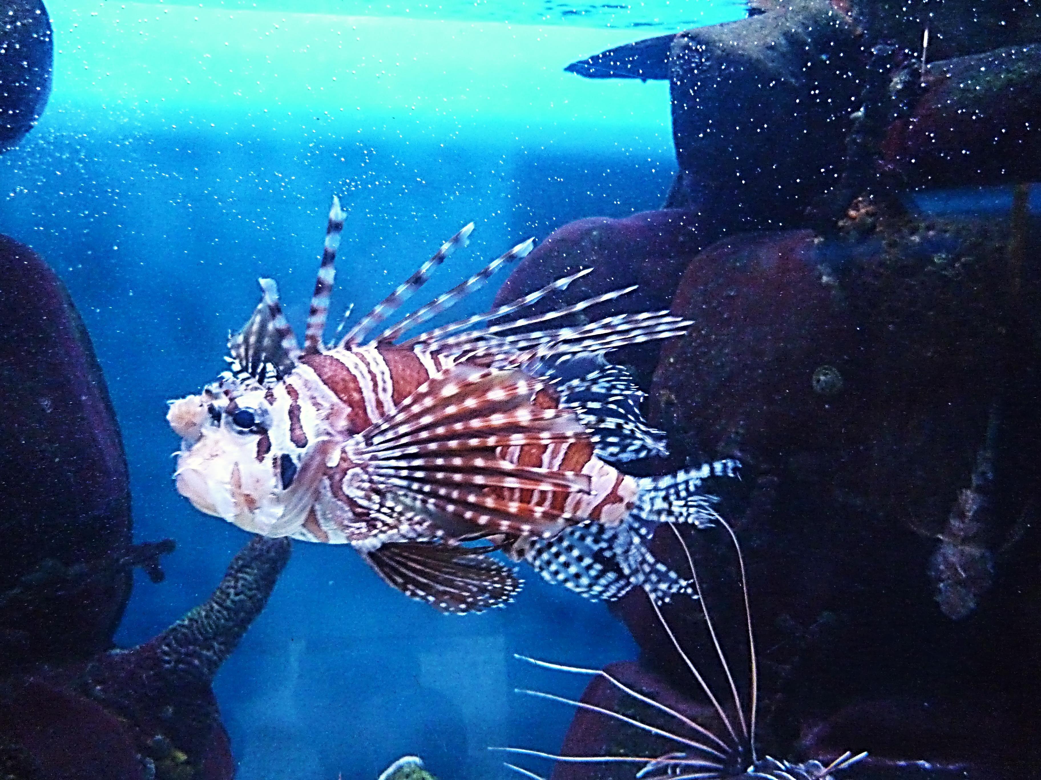 Fotos gratis : Zoo, color, biología, pescado, Pez león, Arrecife de ...