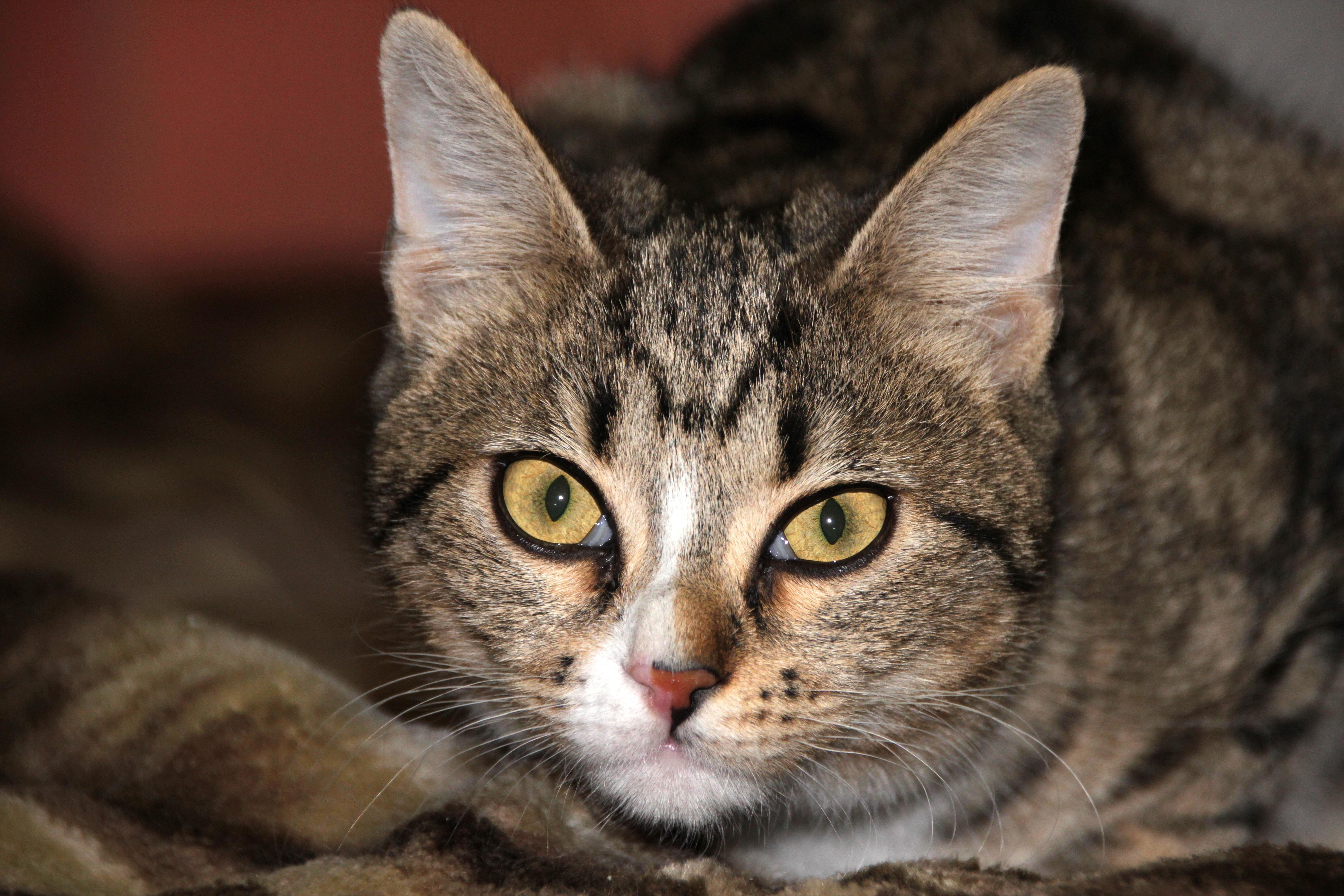 Free view animal pet kitten closeup fauna striped