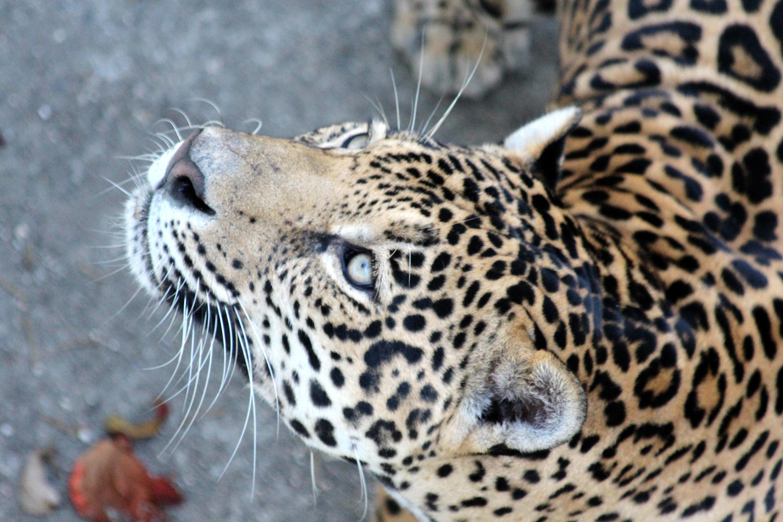 Free images view animal wildlife zoo predator - Chat type leopard ...