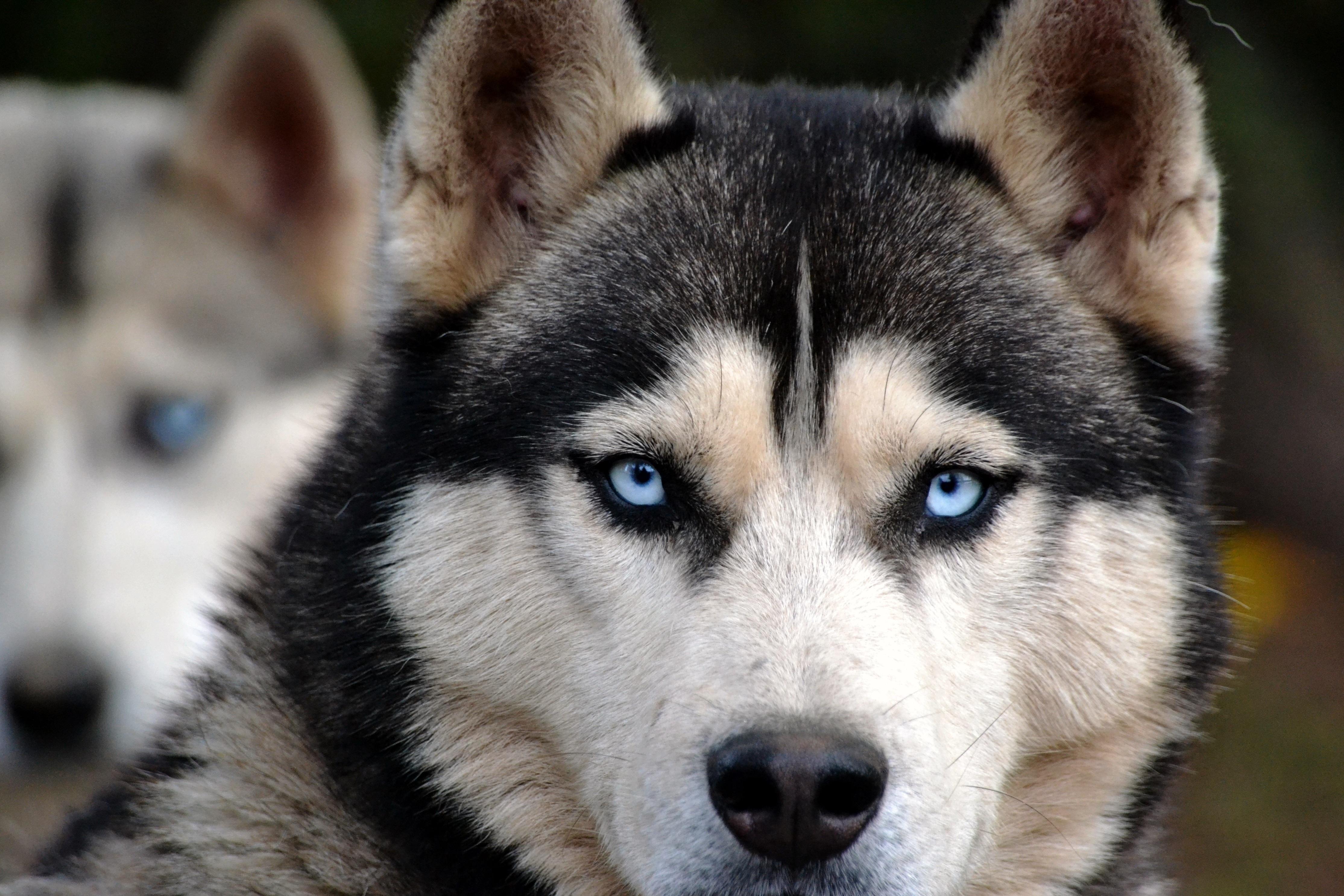 Free Images View Animal Eyes Vertebrate Huskies Dog Breed