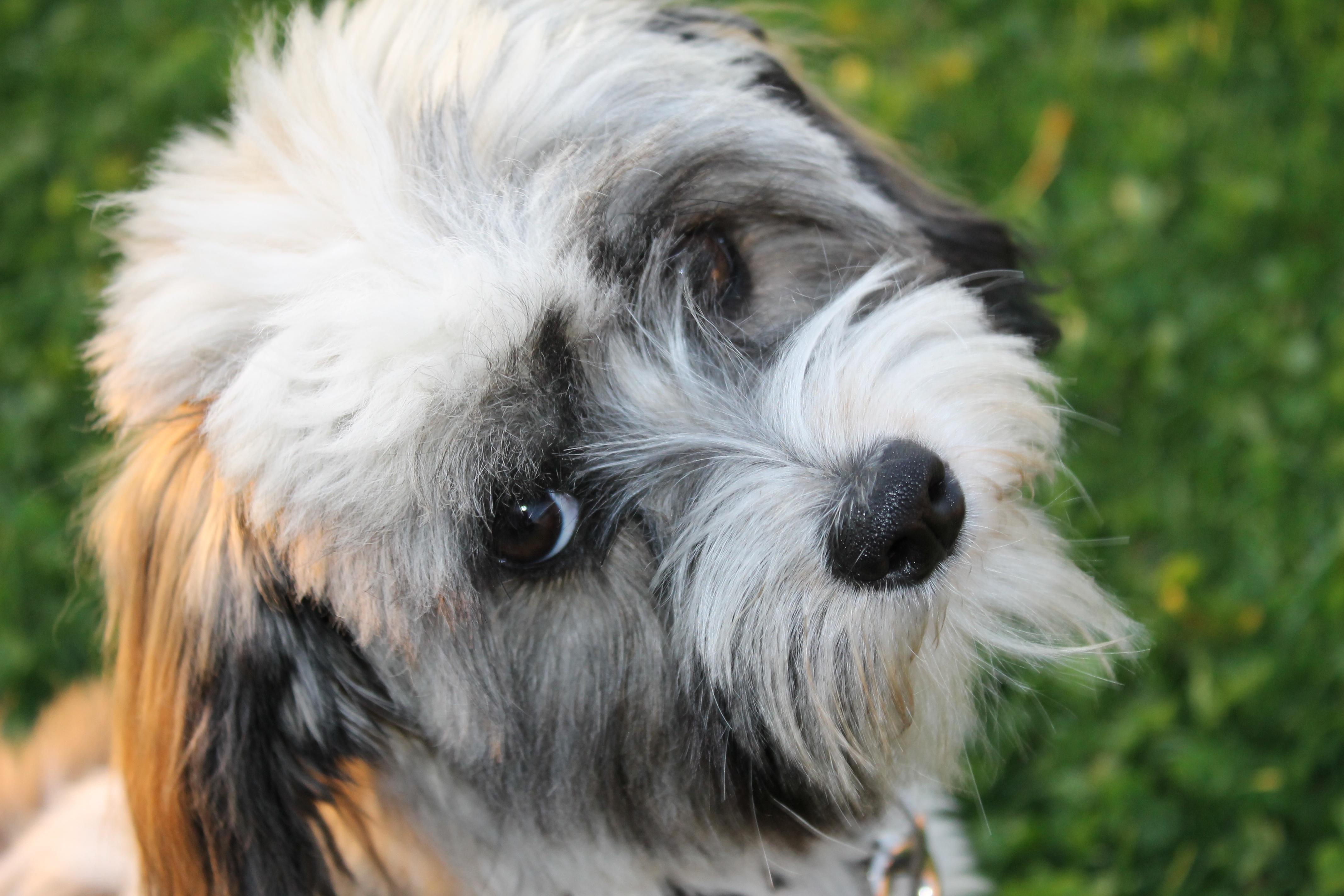 Schnauzer terrier a vendre