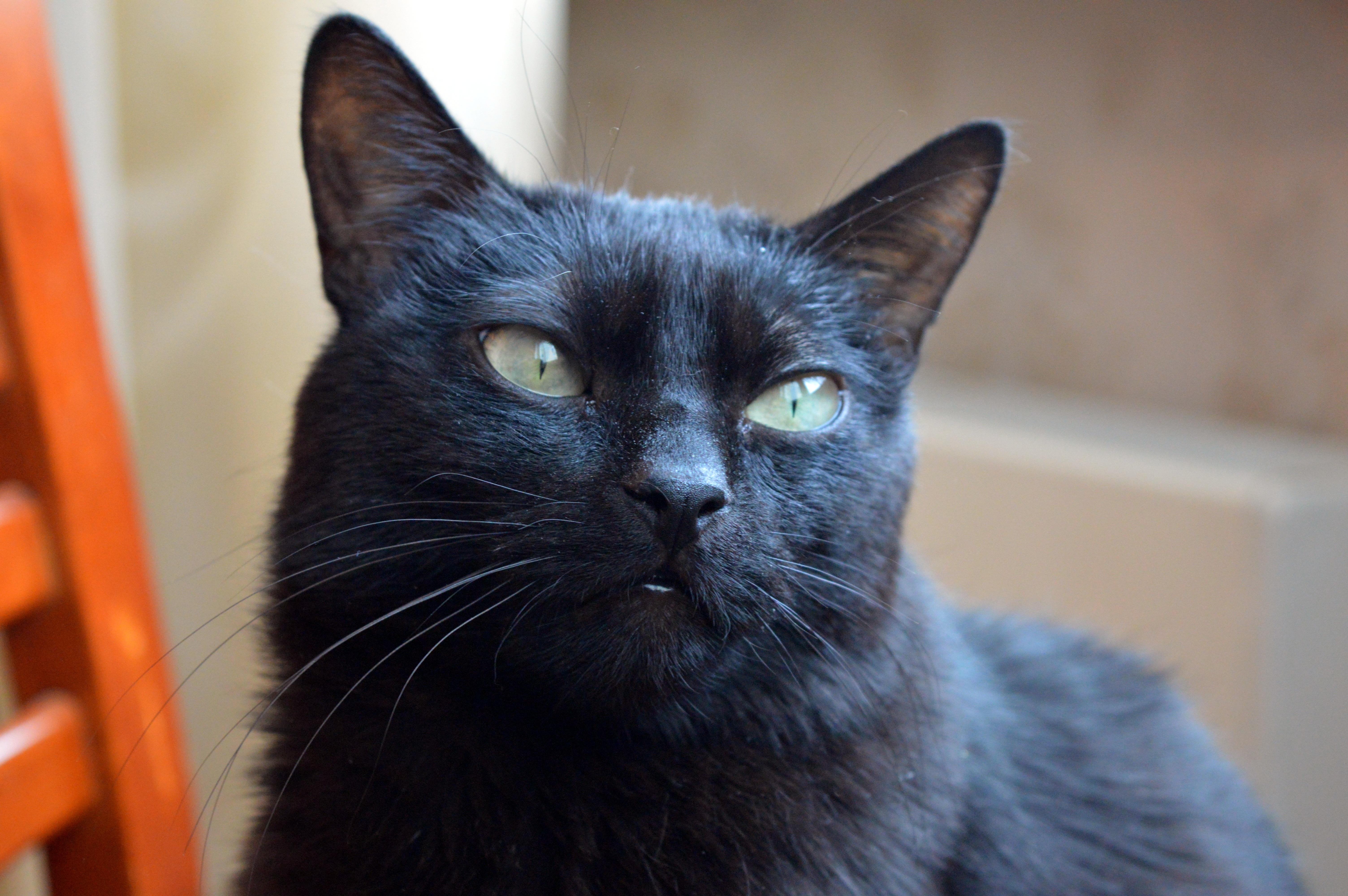 Free Images View Animal Cute Pet Fur Black Cat Pets