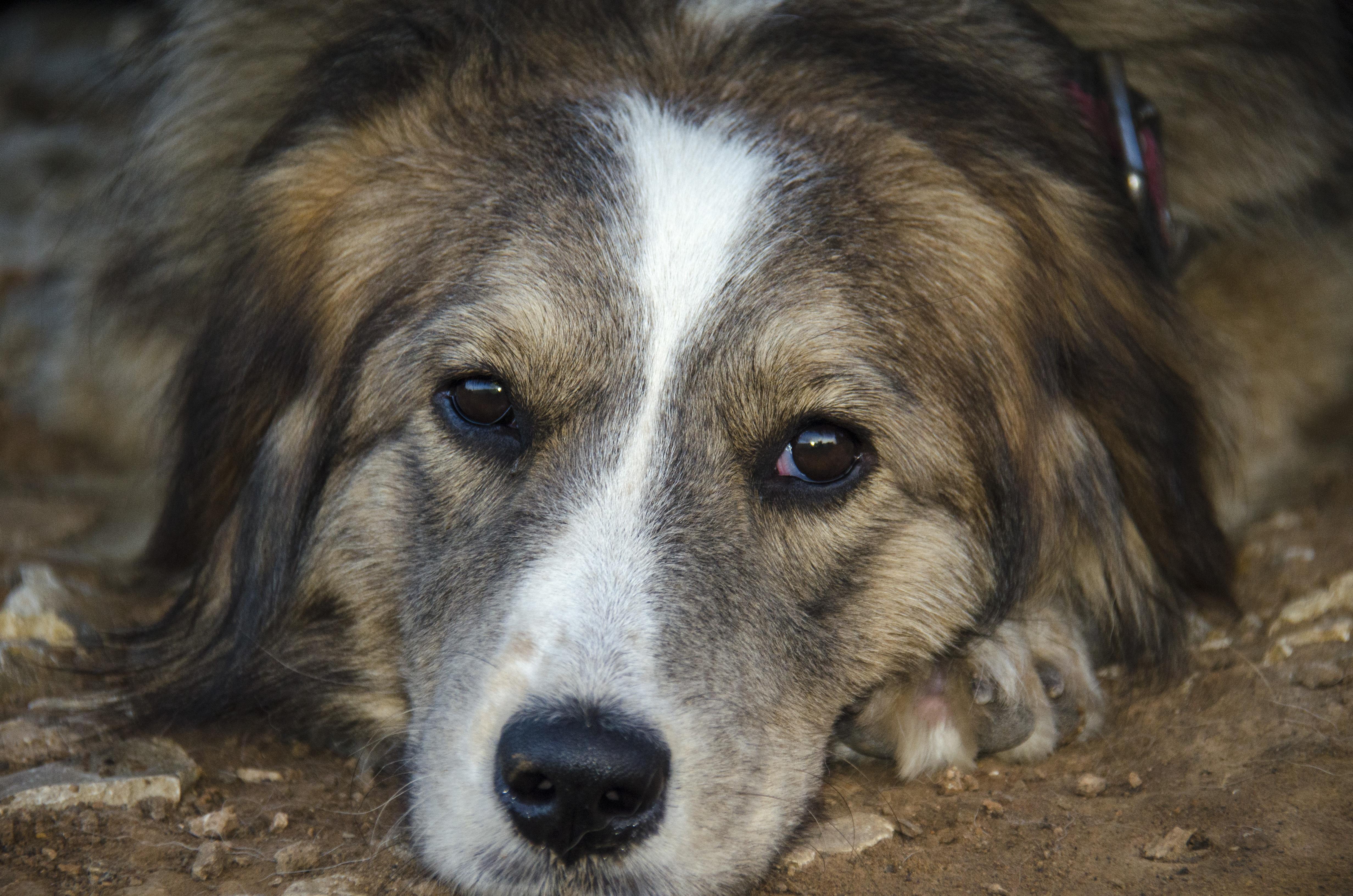 Free Images : view, puppy, portrait, pets, eyes, animals, vertebrate
