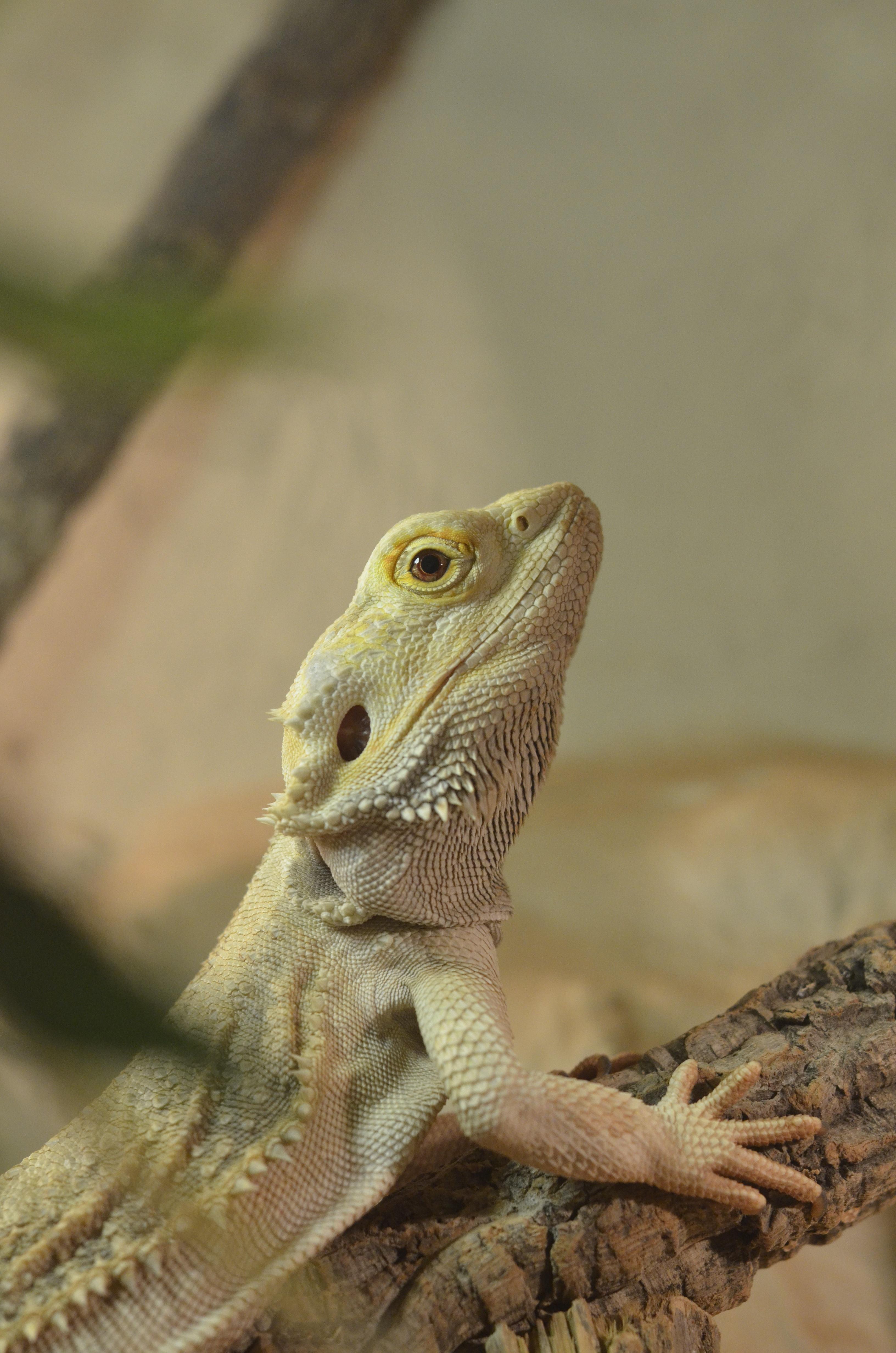 Free Images Watch Nature Animal Wildlife Iguana Baby Fauna