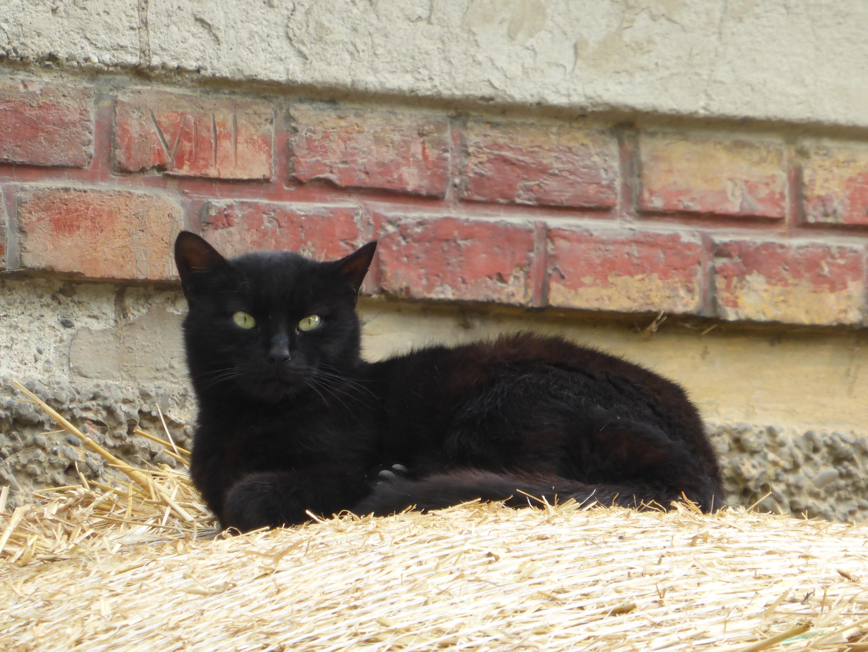 Černá kočička šíření
