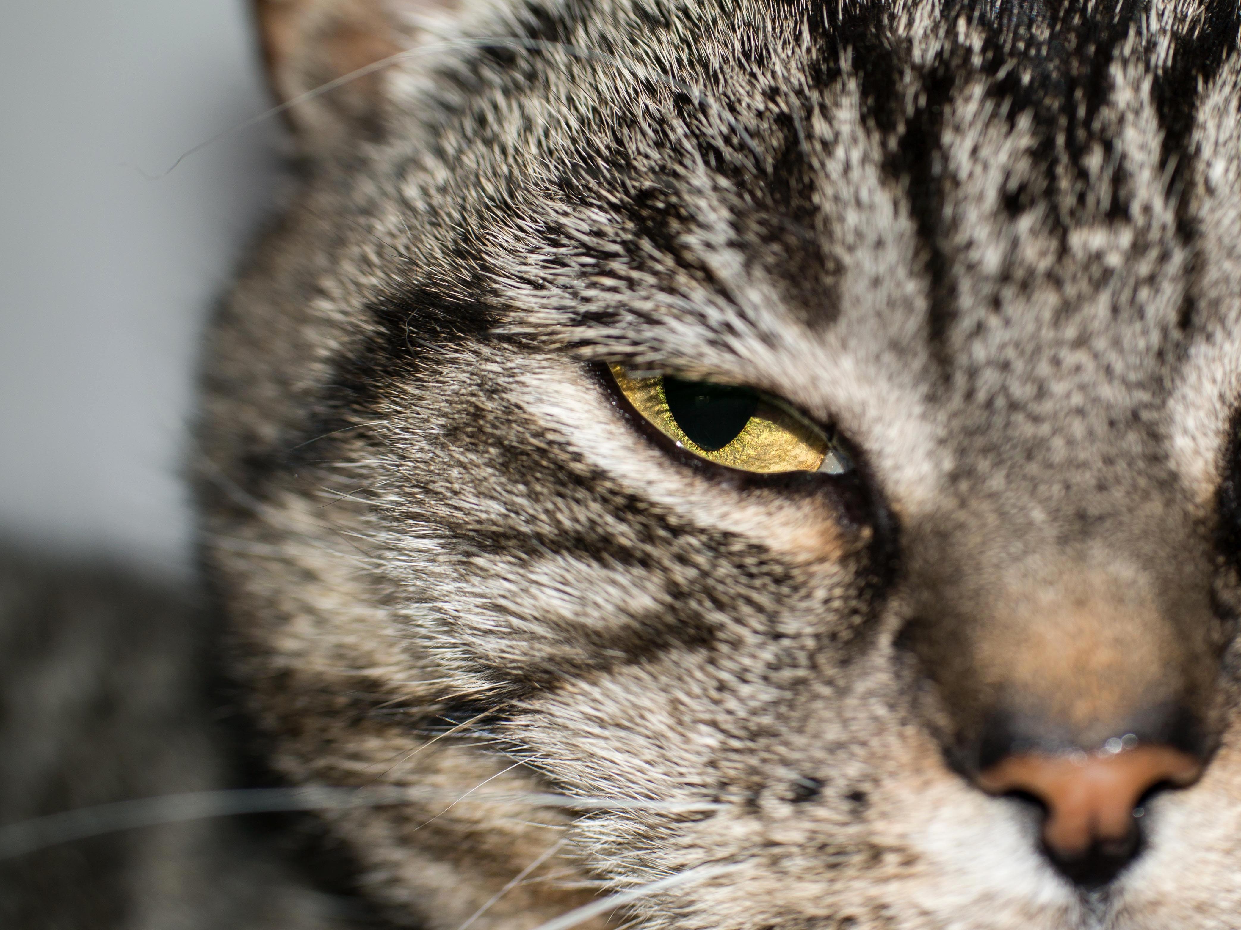 Британские кошки — величественные и округлые (25 фото) | 3129x4172