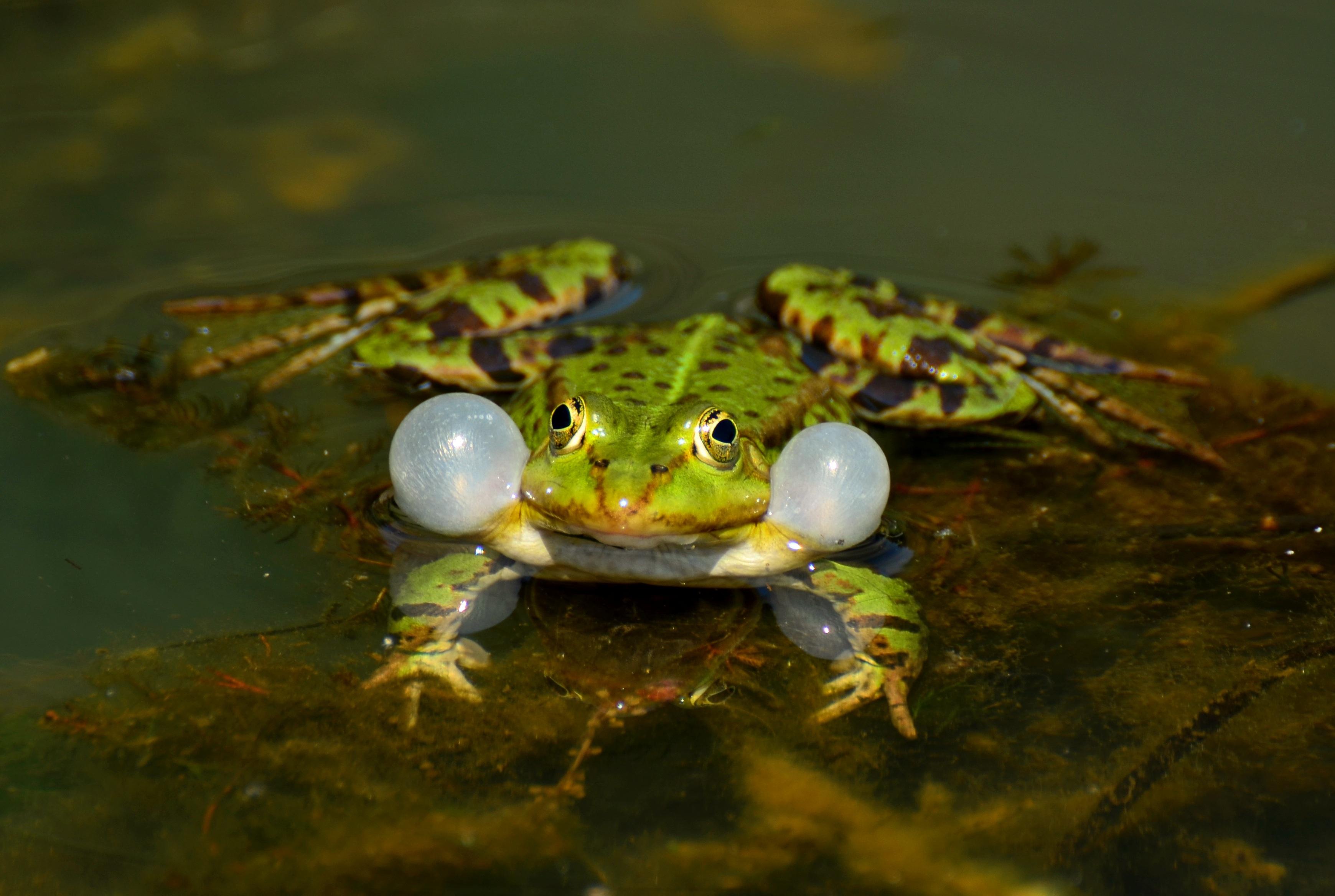 Kostenlose foto : Wasser, Tier, Teich, Tierwelt, Grün, Biologie ...