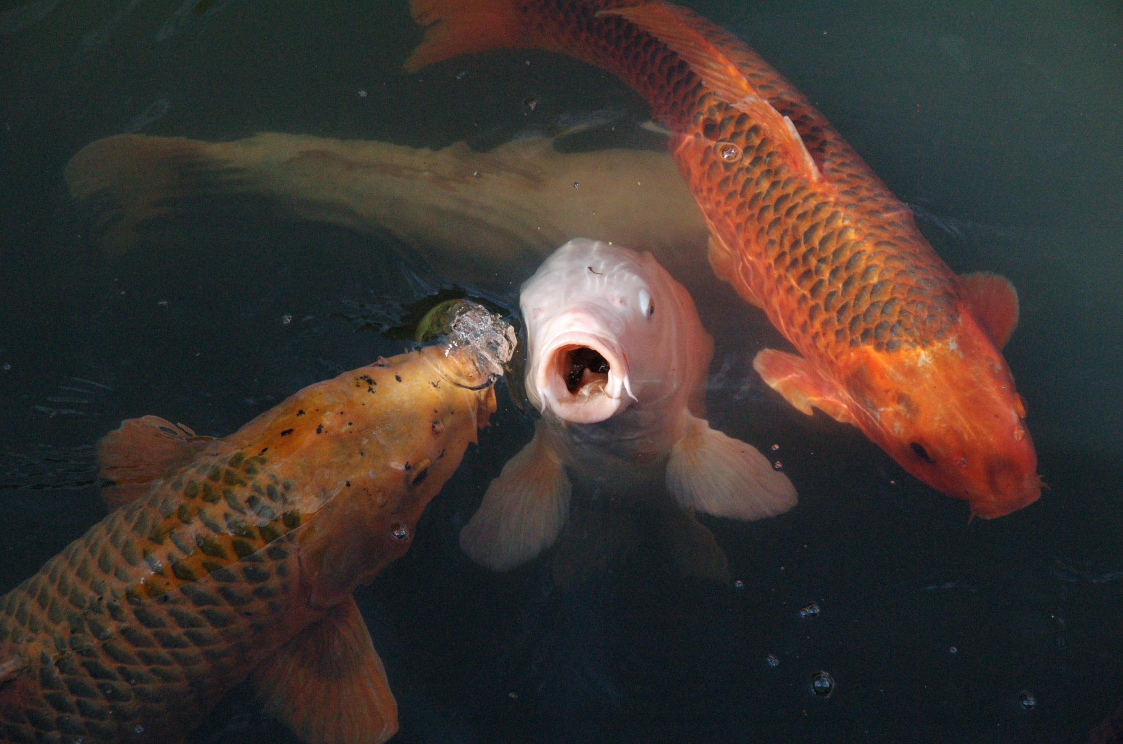 49128338b923a5 vand biologi fisk guldfisk koi karpe rod koi karper komme til syne  havbiologi