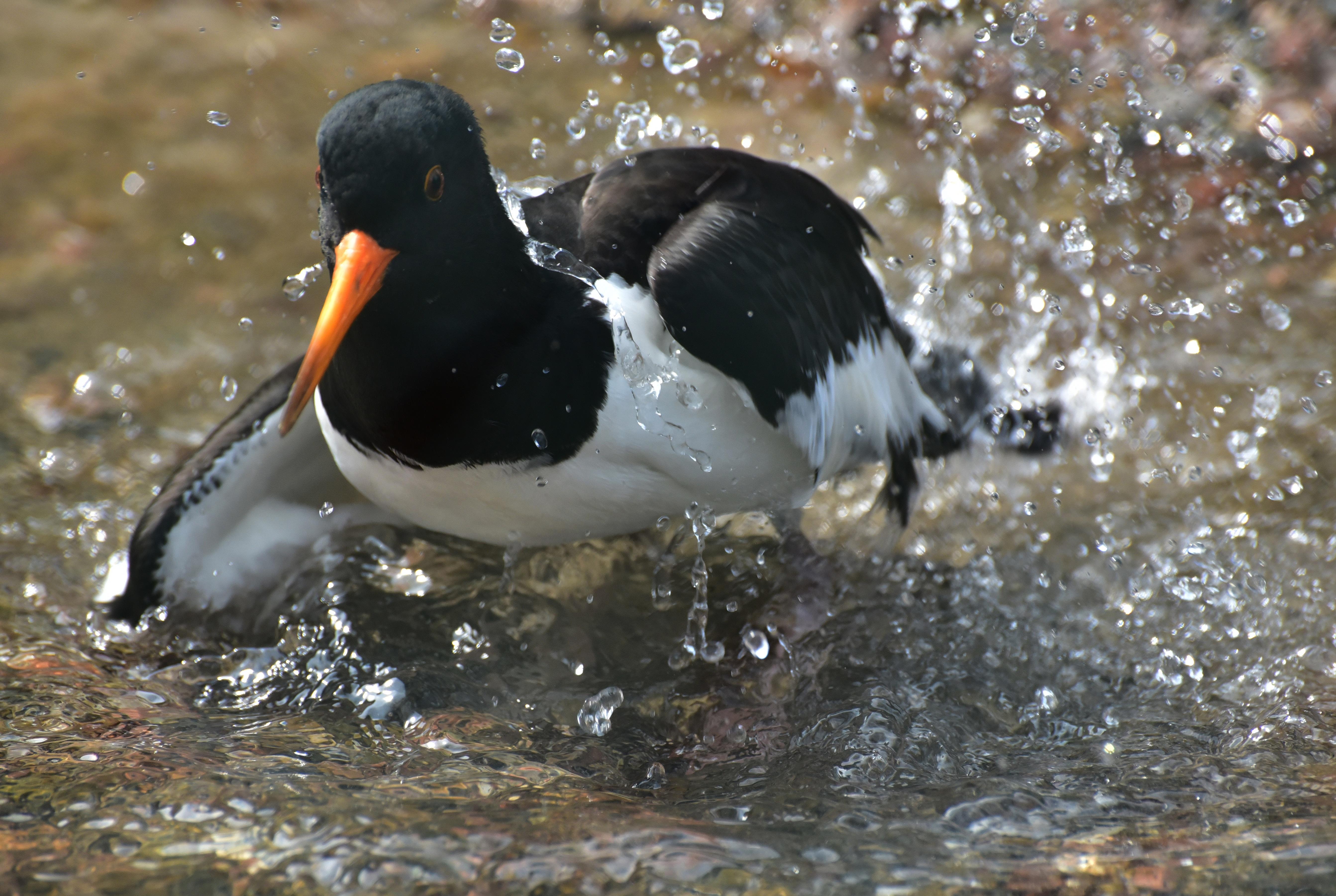 Images gratuites eau noir et blanc animal faune le for Oiseau bec rouge
