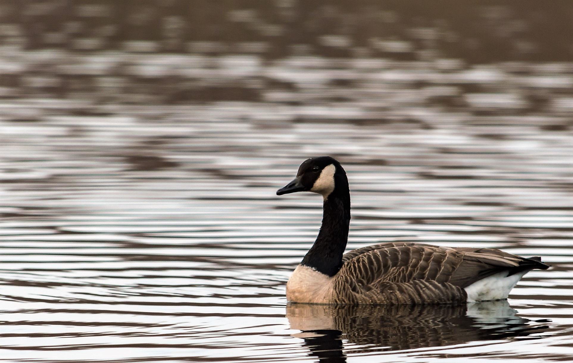 images gratuites eau aile noir et blanc lac animal. Black Bedroom Furniture Sets. Home Design Ideas