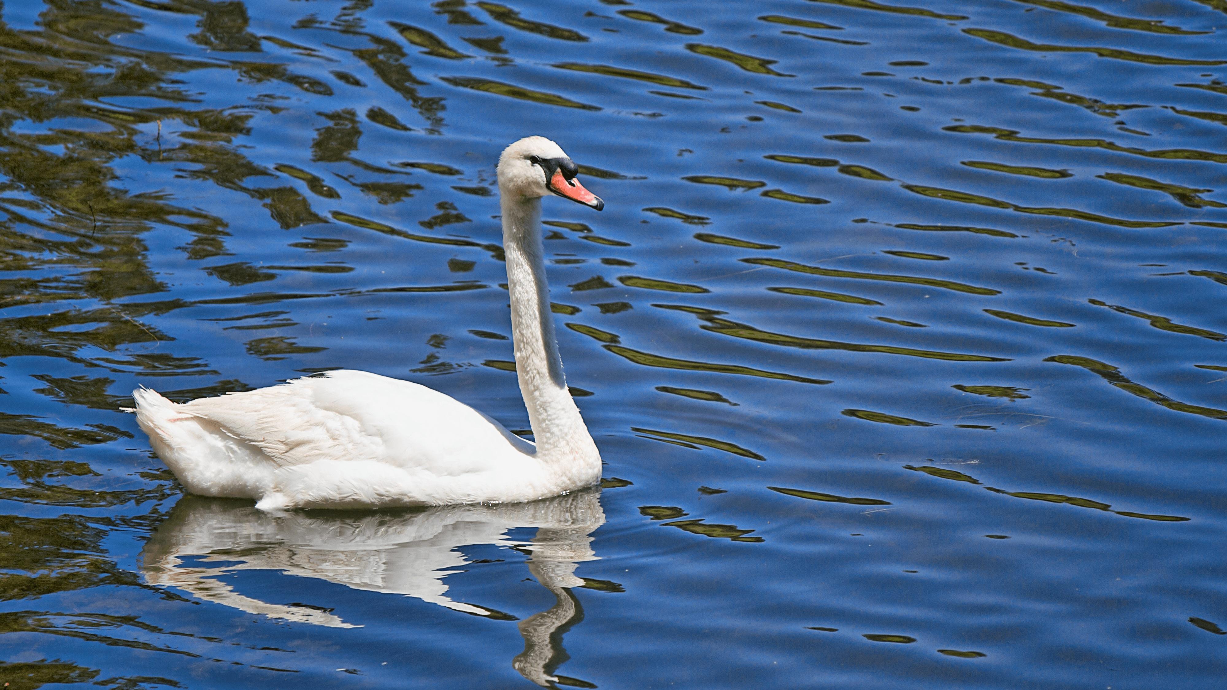 Картинки лебедя и гуся