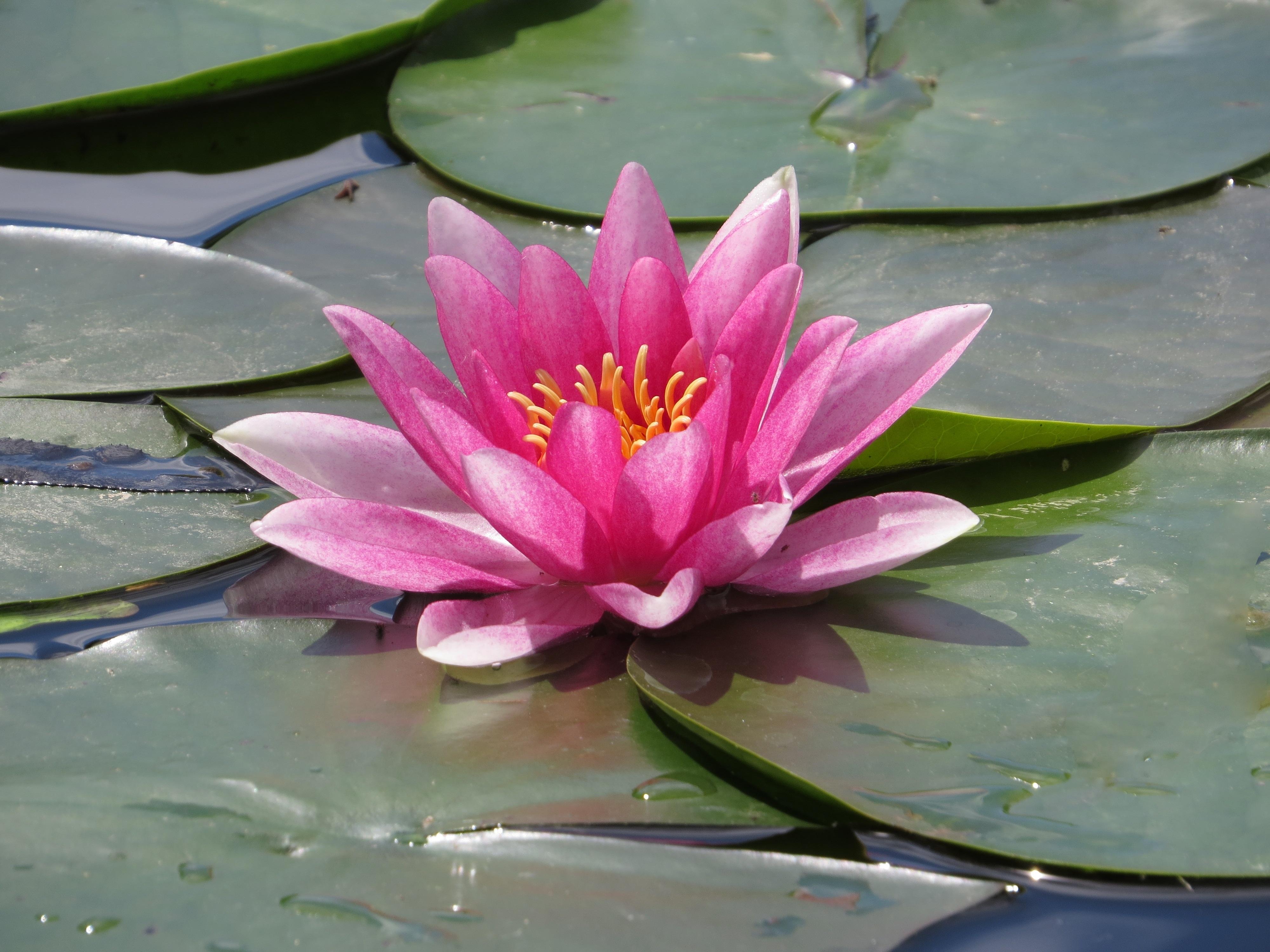 Цветок водяной лилии фото и