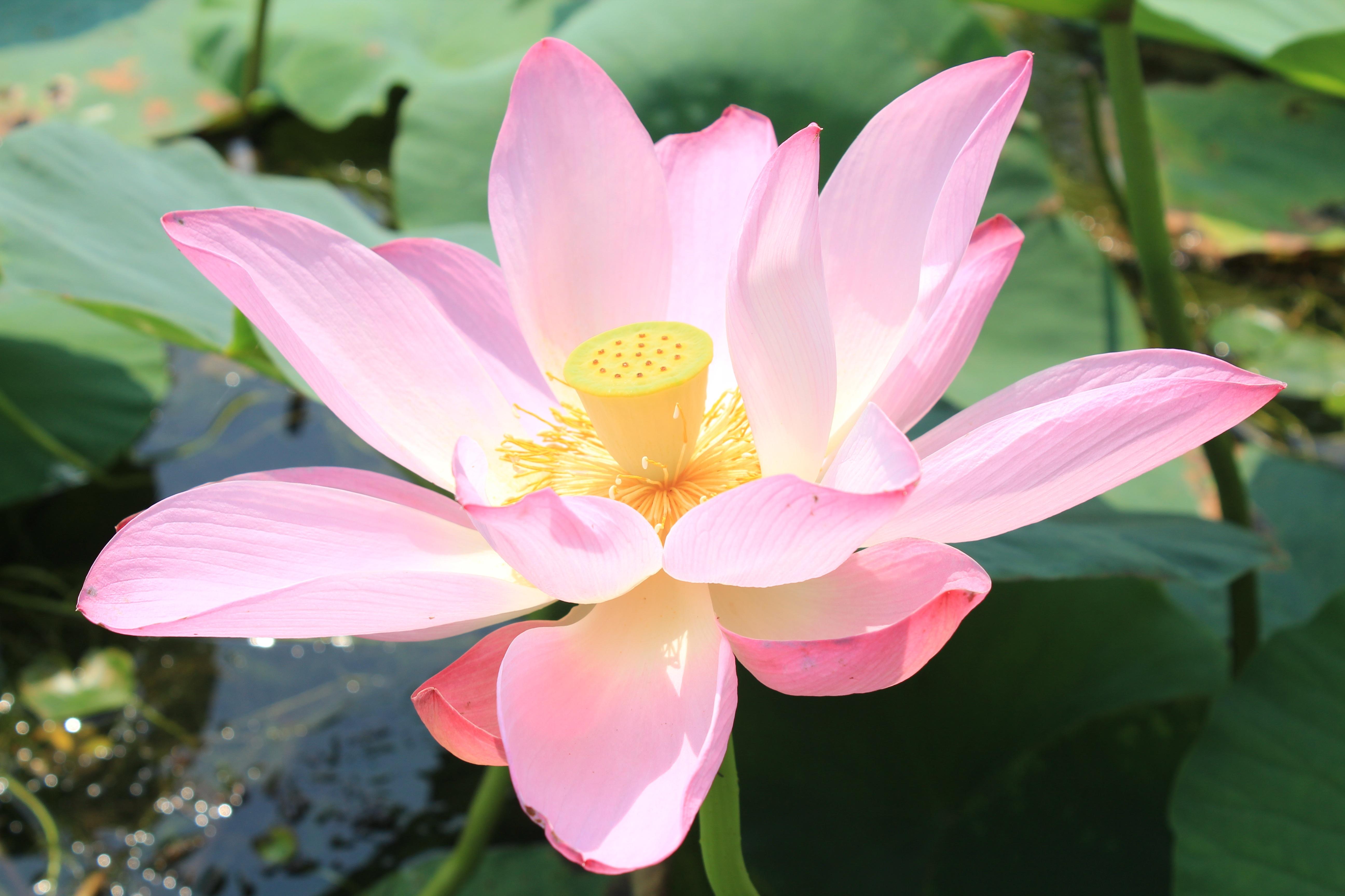 грибы этого фото цветка розовый лотос связи этим