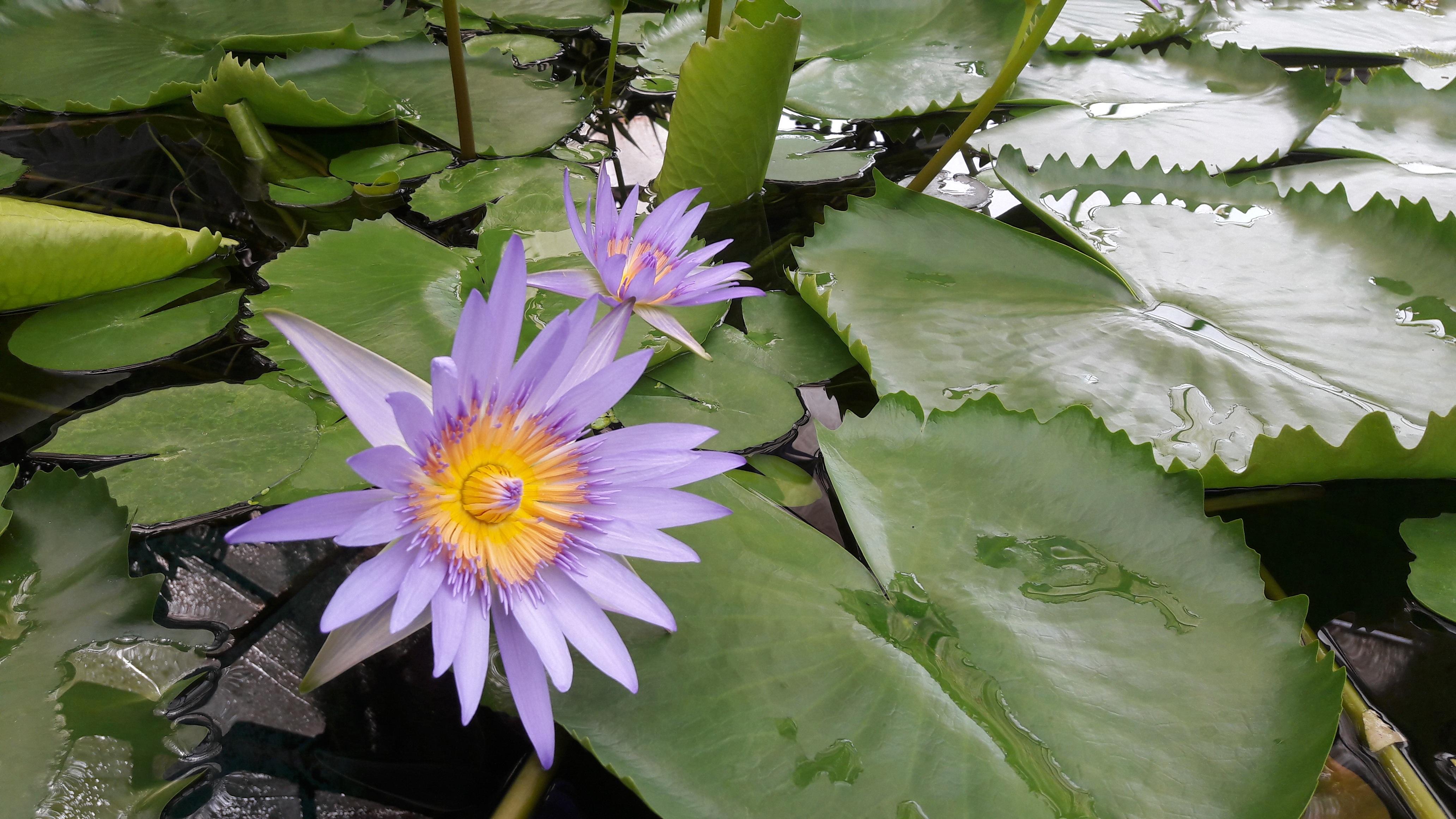 Kostenlose Foto Wasser Blühen Blatt Blume Botanik Garten