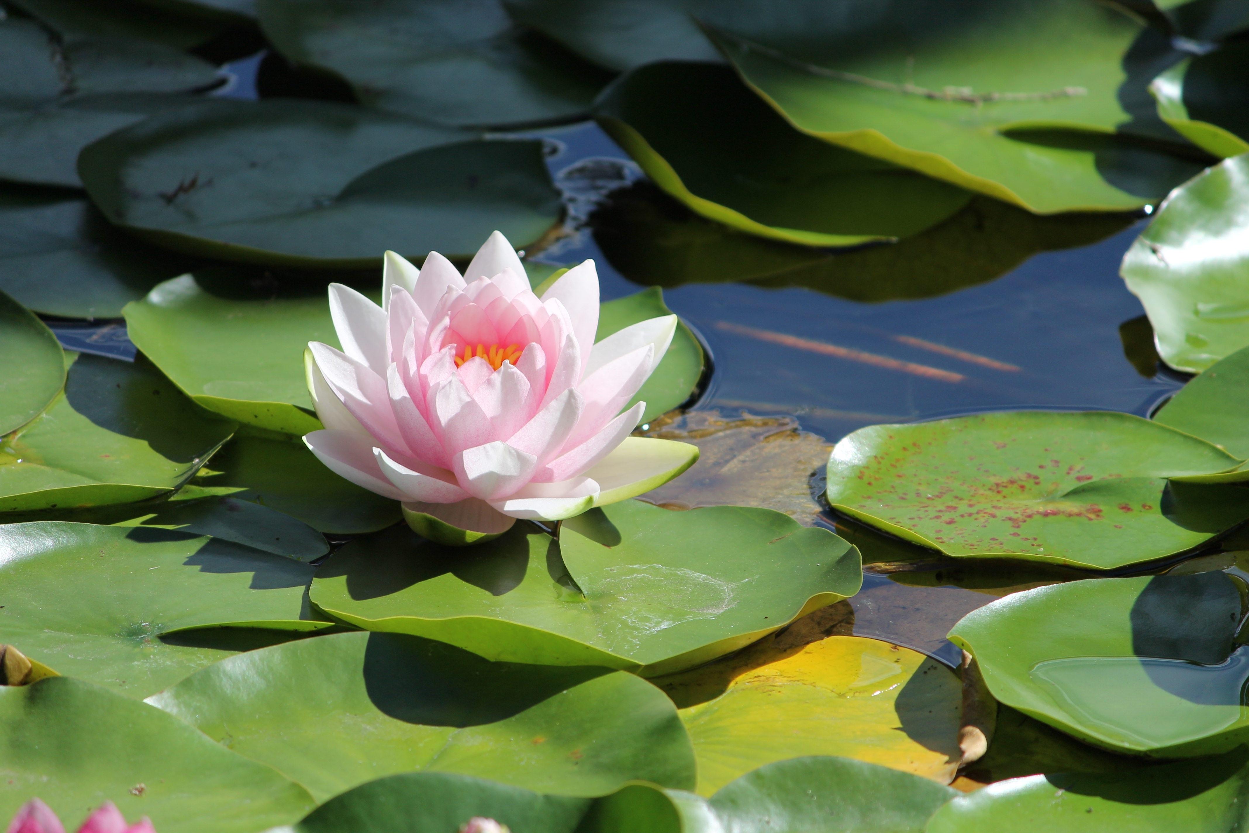 Free Images Blossom White Leaf Flower Petal Pond