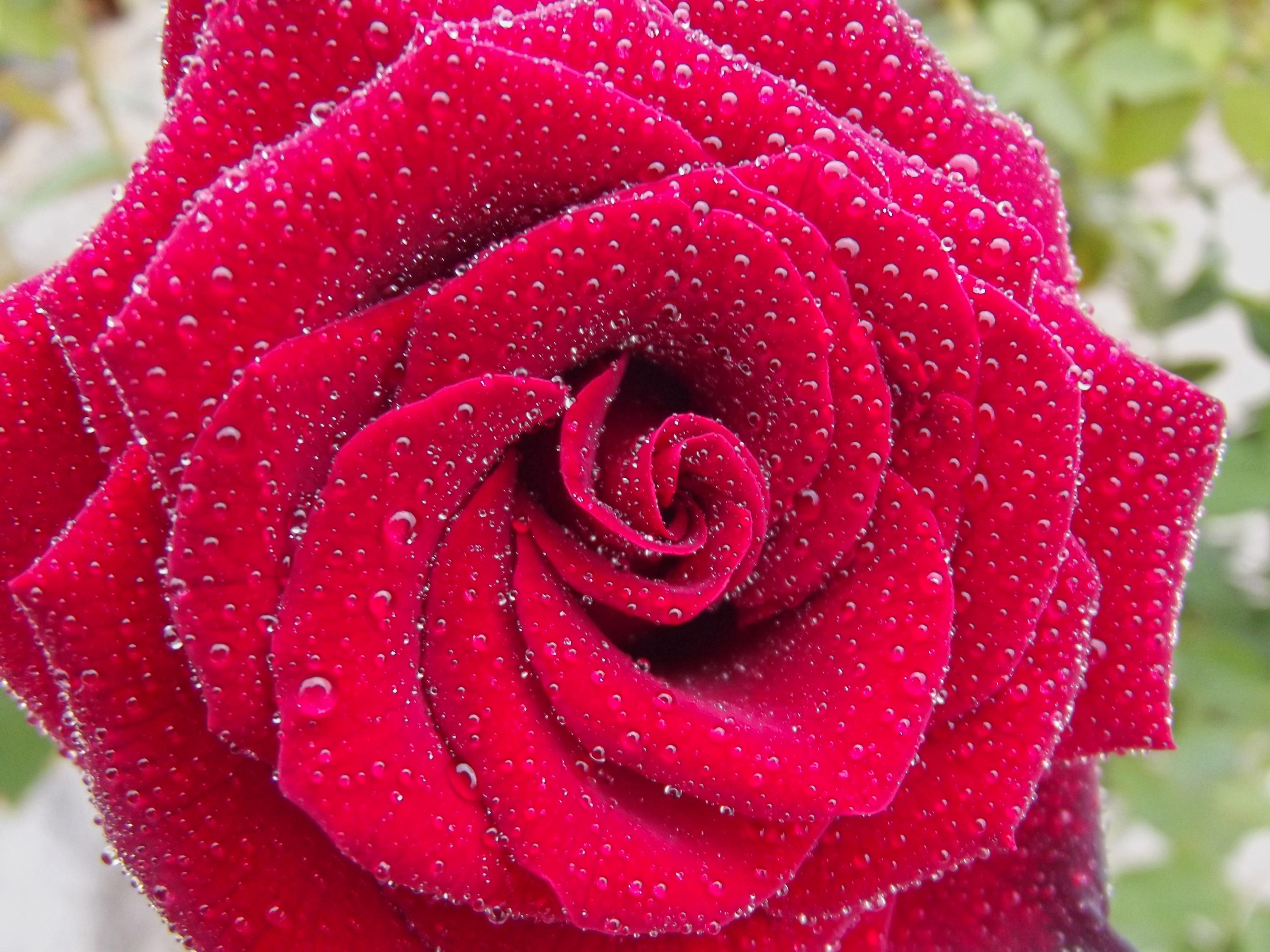 Images Gratuites Eau Laissez Tomber Pluie Fleur Petale Rouge