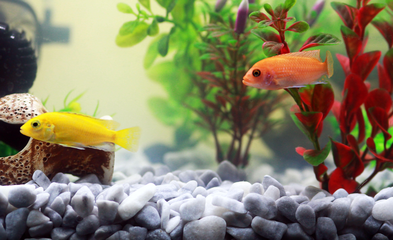 Free images flower zoo orange biology goldfish for Yellow fish tank water