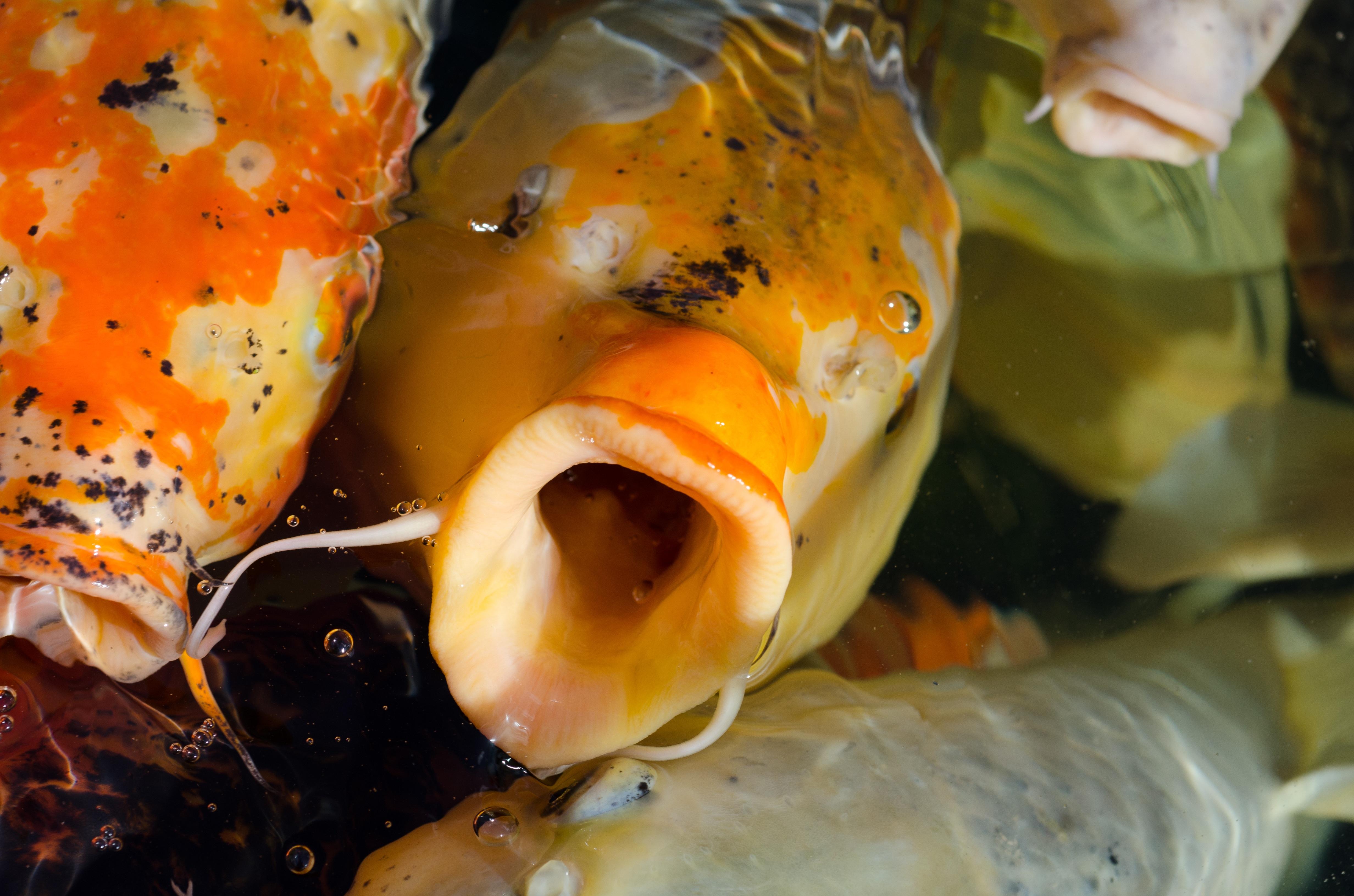 Fotos gratis agua naturaleza animal estanque for Comida para carpas koi