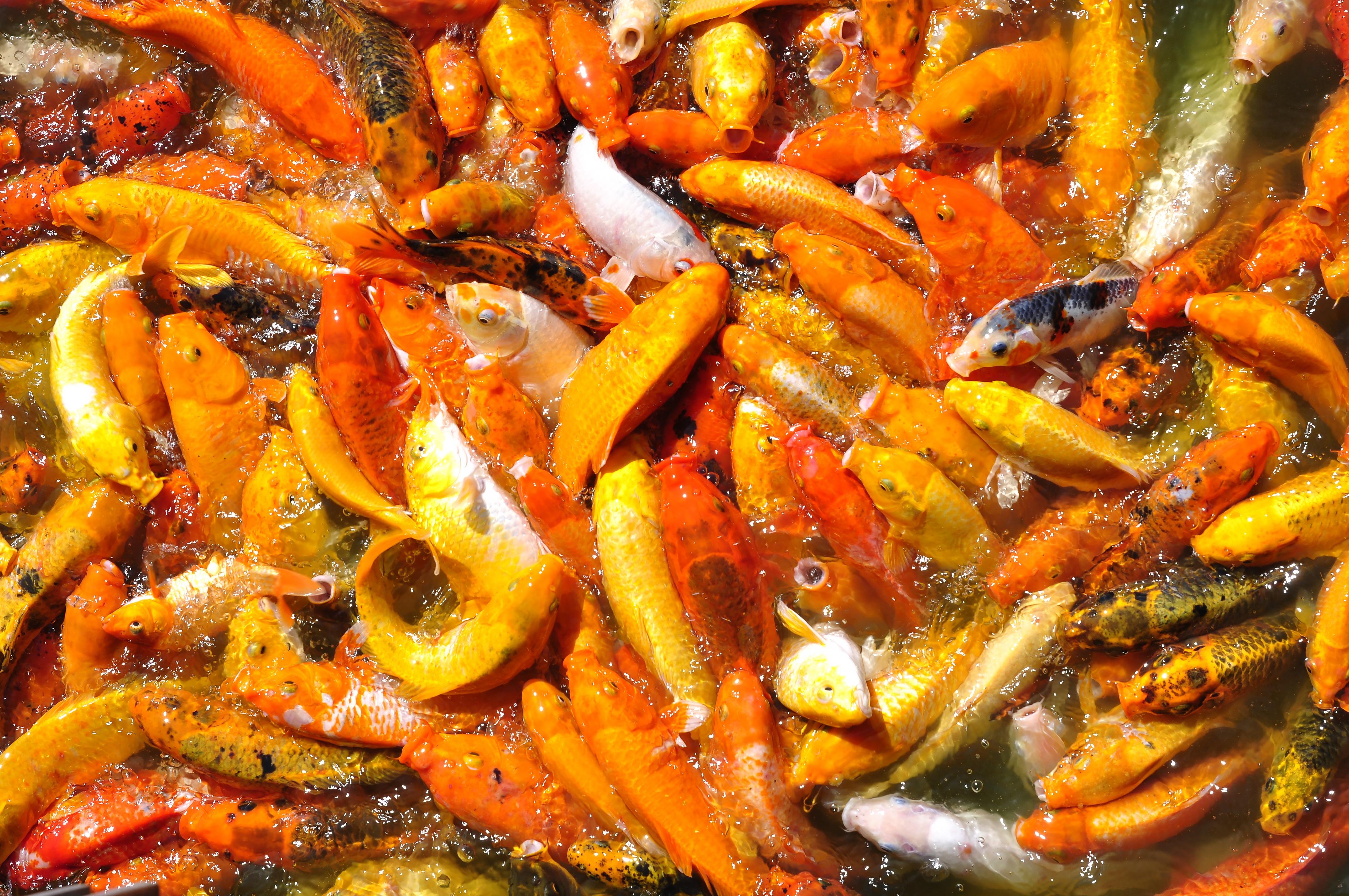 Gambar Alam Asia Jeruk Hidangan Makanan Keemasan Menghasilkan Sayur Mayur Penangkapan Ikan Masakan Wortel Di Luar Rumah Koi Karper Air Tawar Tanaman Berbunga Tanaman Tanah Ikan Mas 4288x2848 1201126 Galeri Foto Pxhere