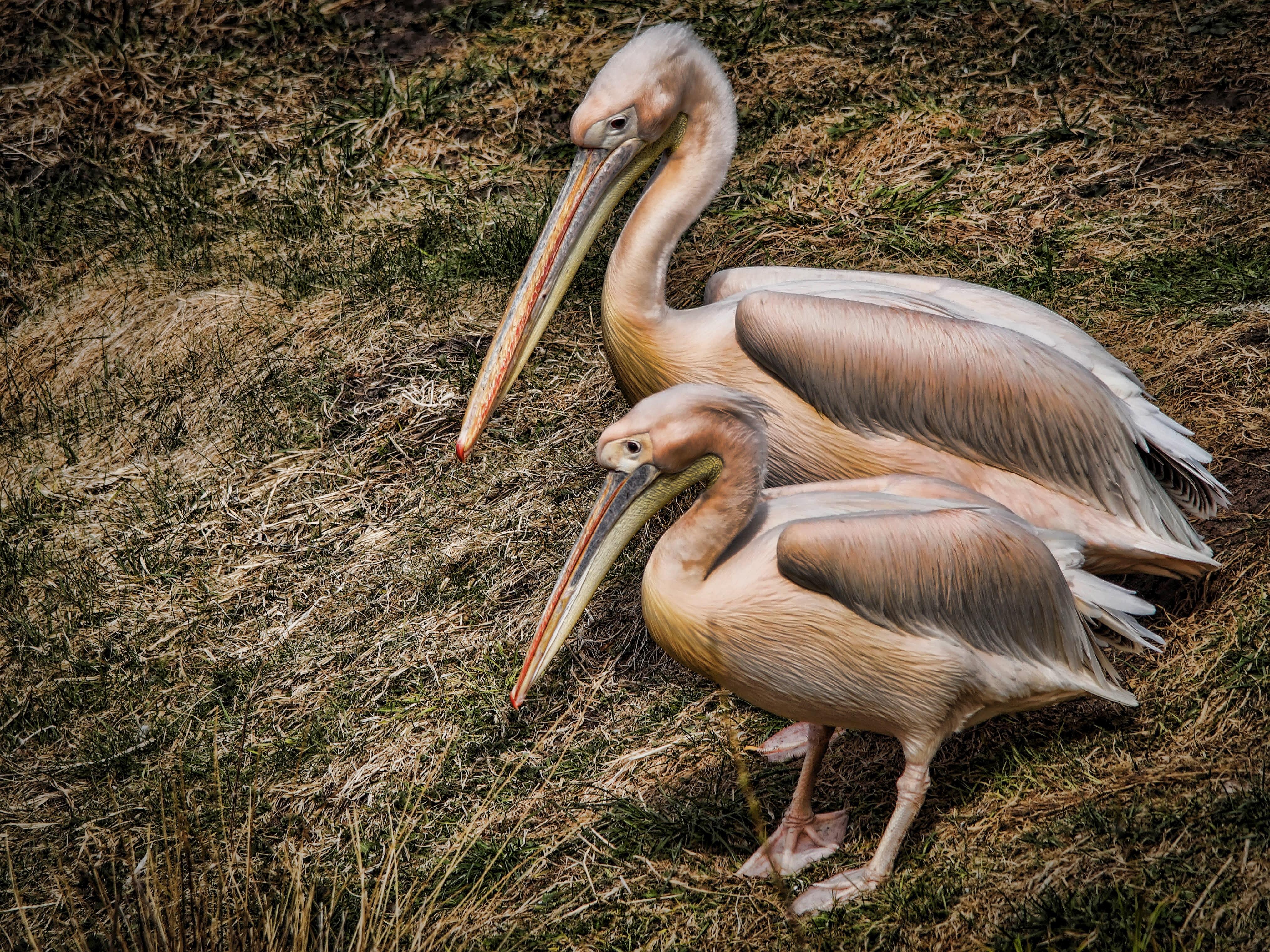 pelicans - 1024×767