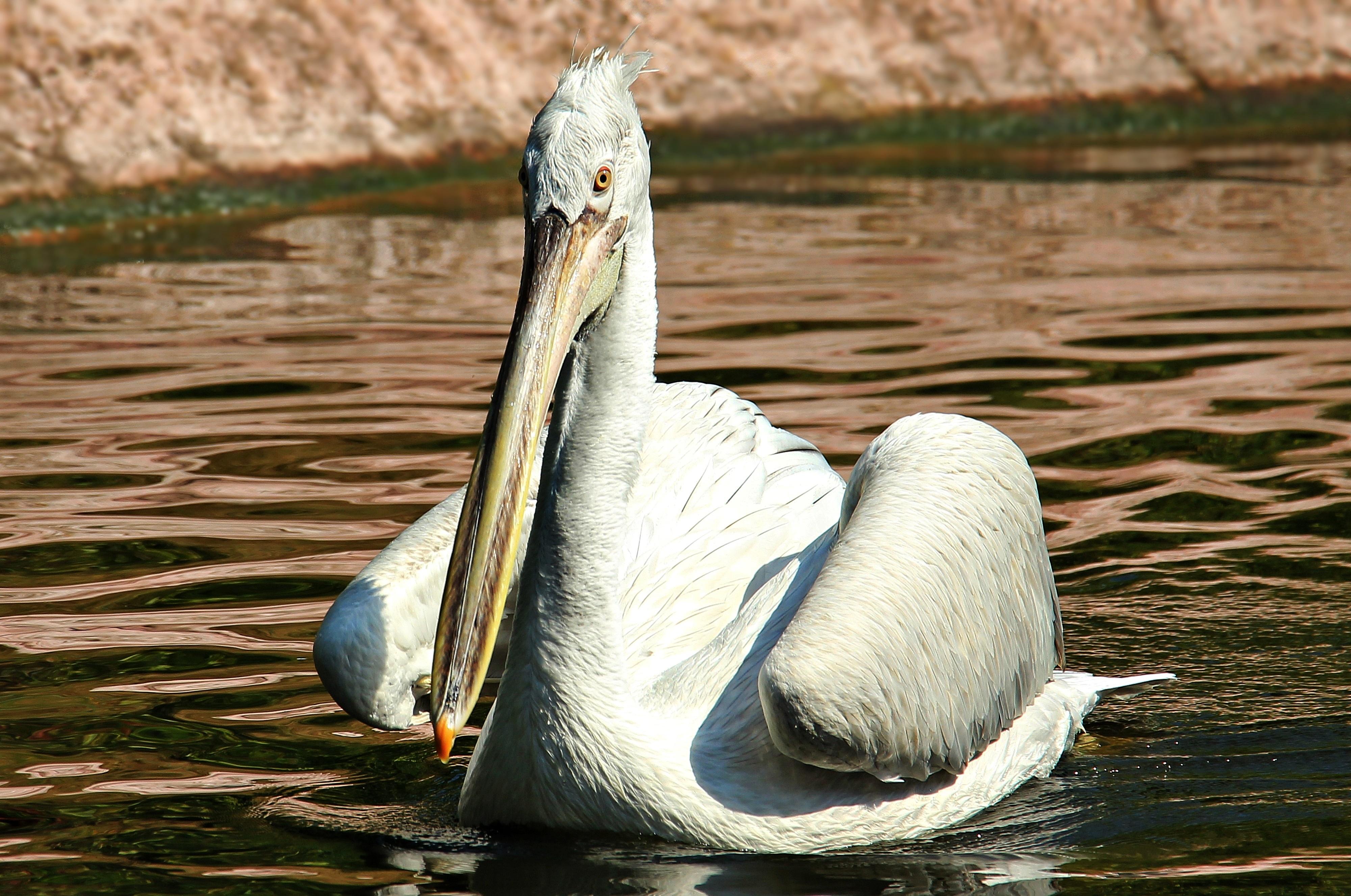 kostenlose foto wasser natur vogel weiß tier pelikan