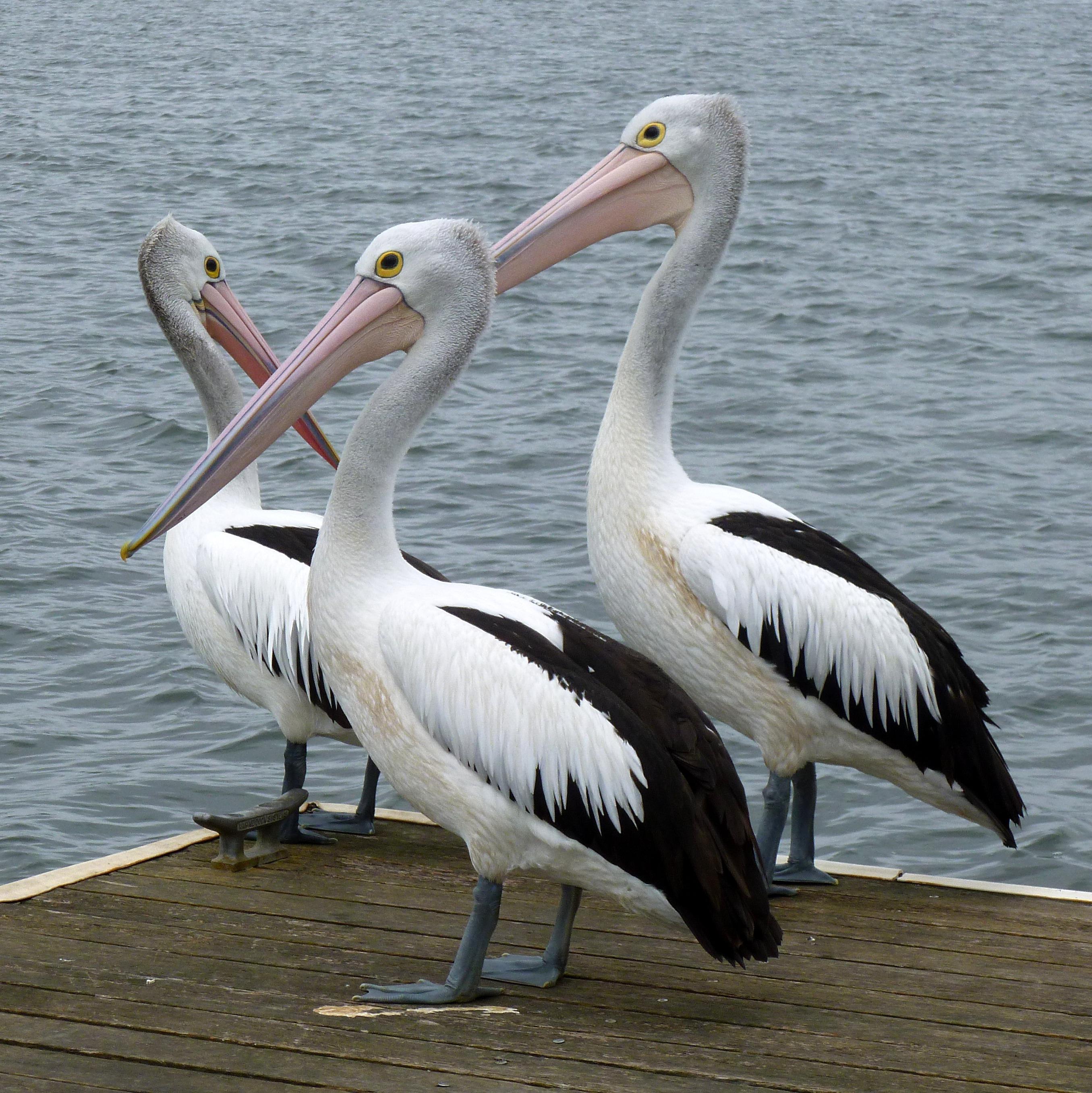 Banco de imagens agua natureza asa animal pelicano - Fotos de pelicanos ...