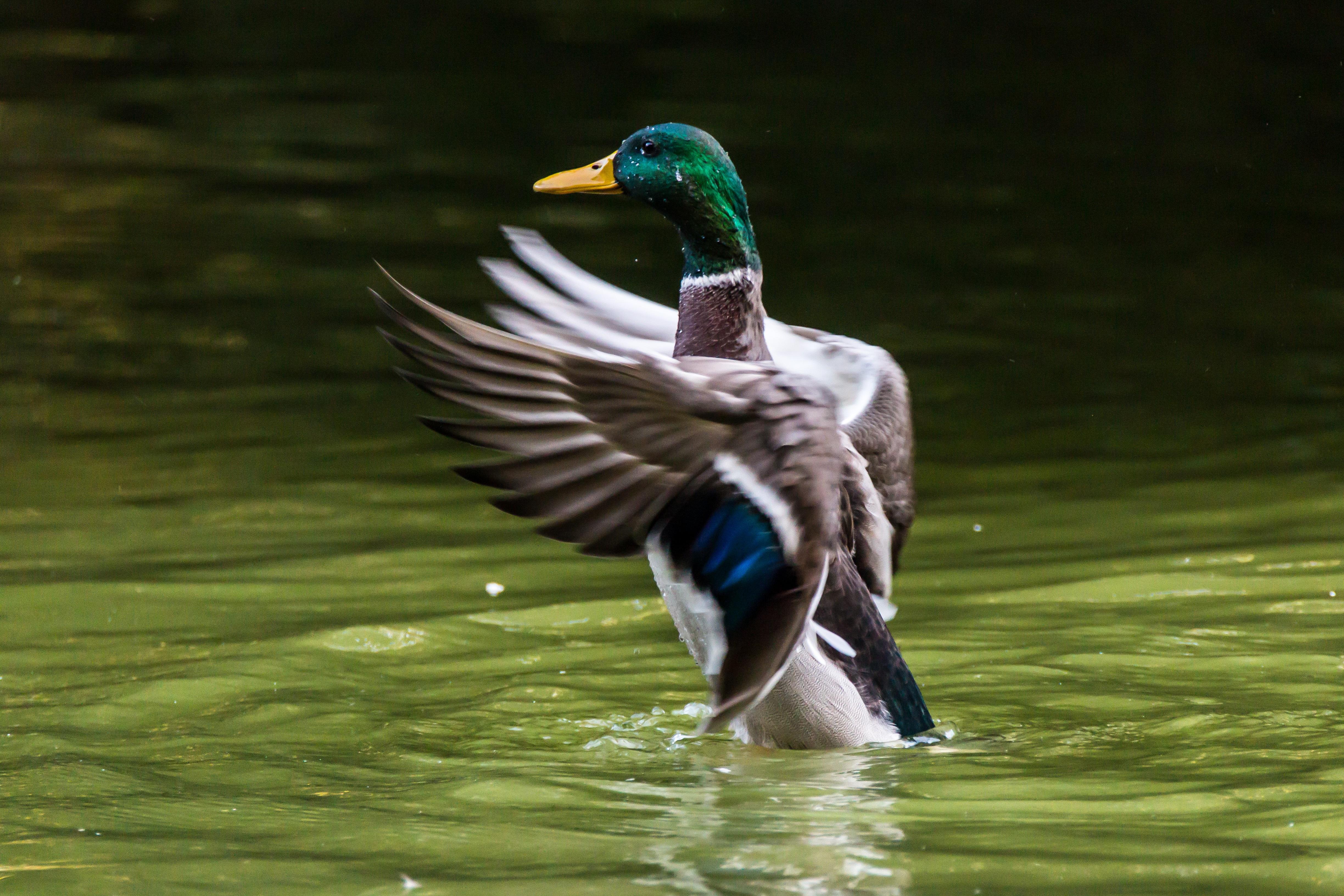 images gratuites eau la nature aile animal faune vert le bec aquatique la volaille. Black Bedroom Furniture Sets. Home Design Ideas