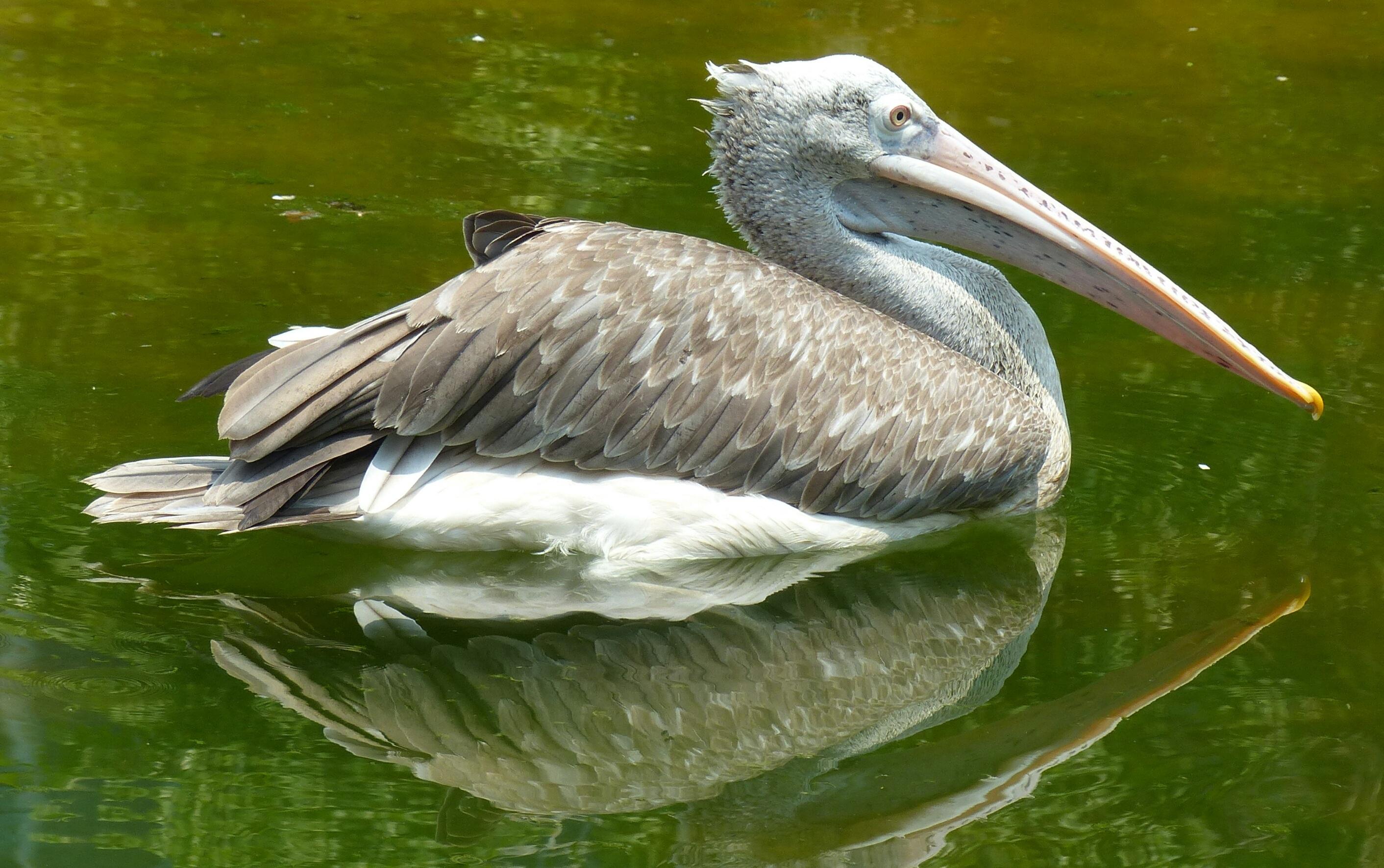 pelicans - HD2824×1771