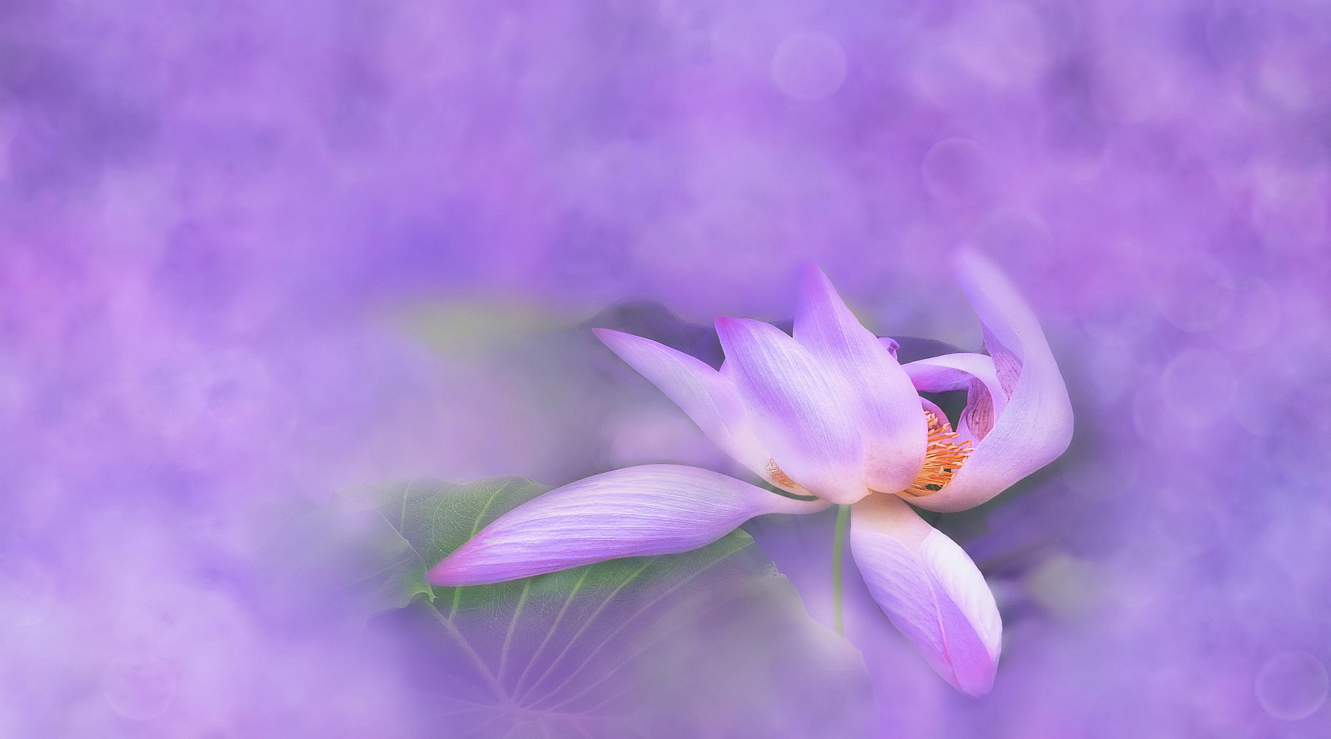 Gambar Alam Mekar Bokeh Menanam Putih Ungu Daun Bunga