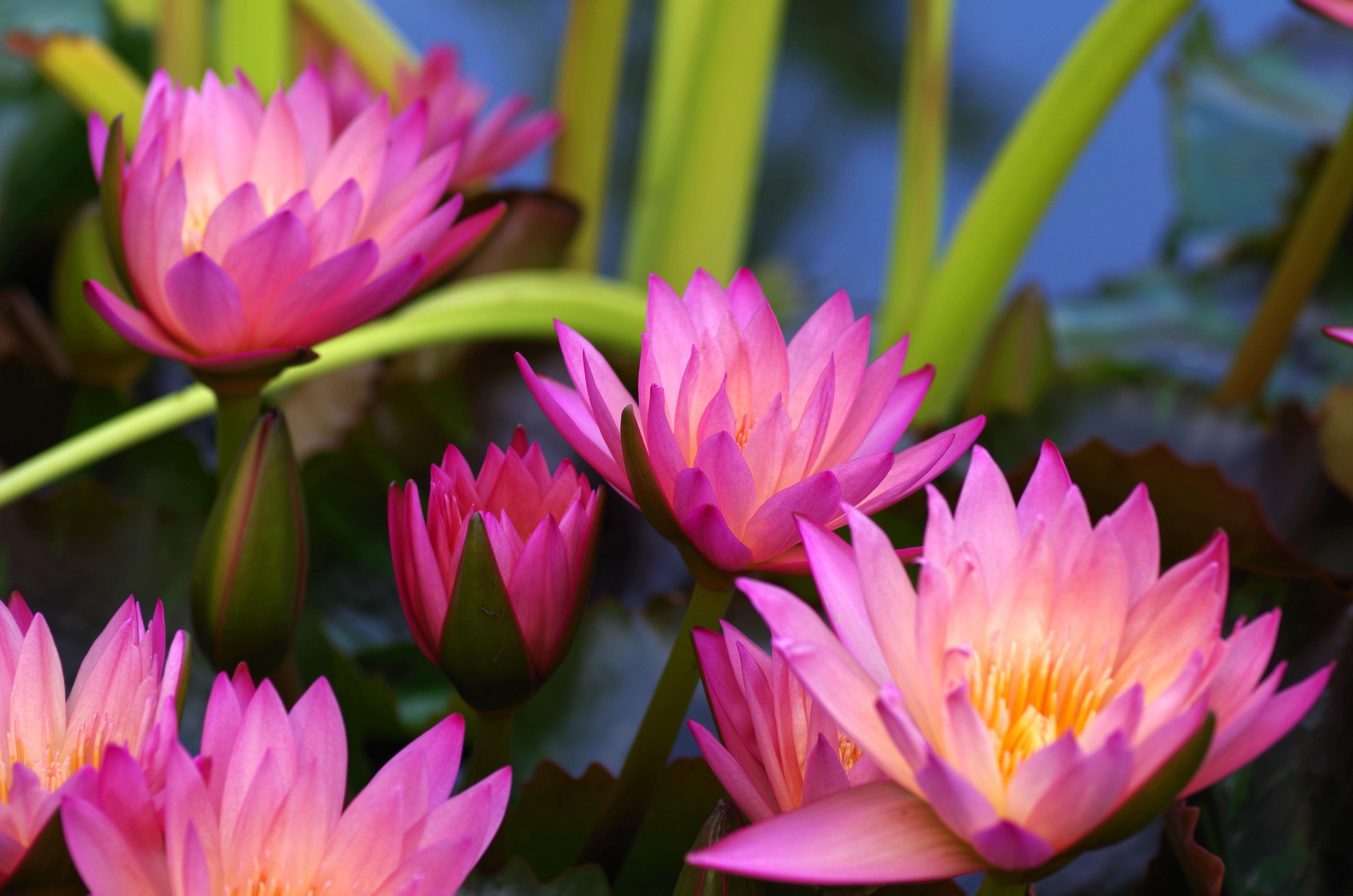 Free Images Nature Blossom Flower Petal Bloom Pond Botany