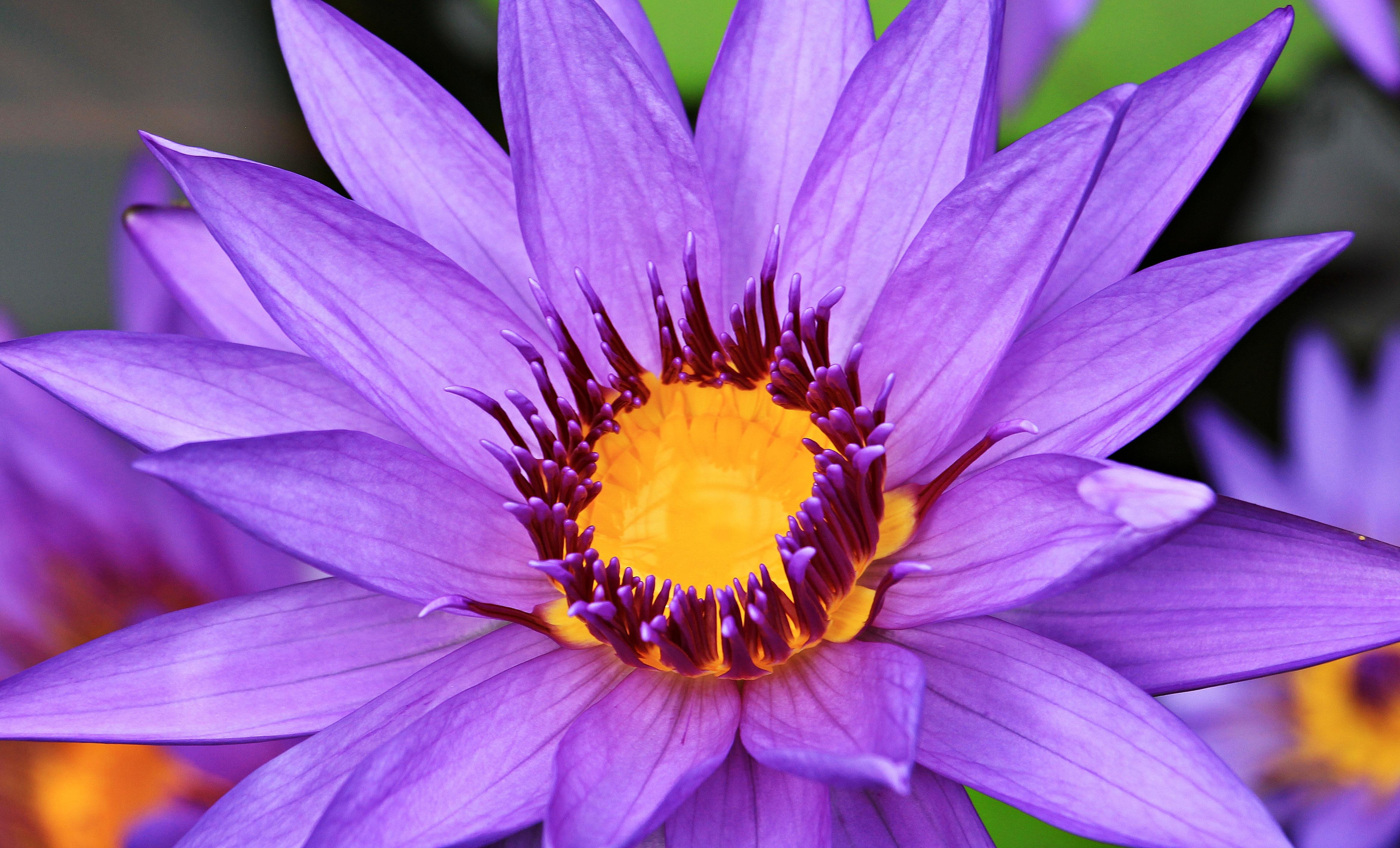 Free Images Nature Petal Bloom Summer Yellow Aquatic Plant