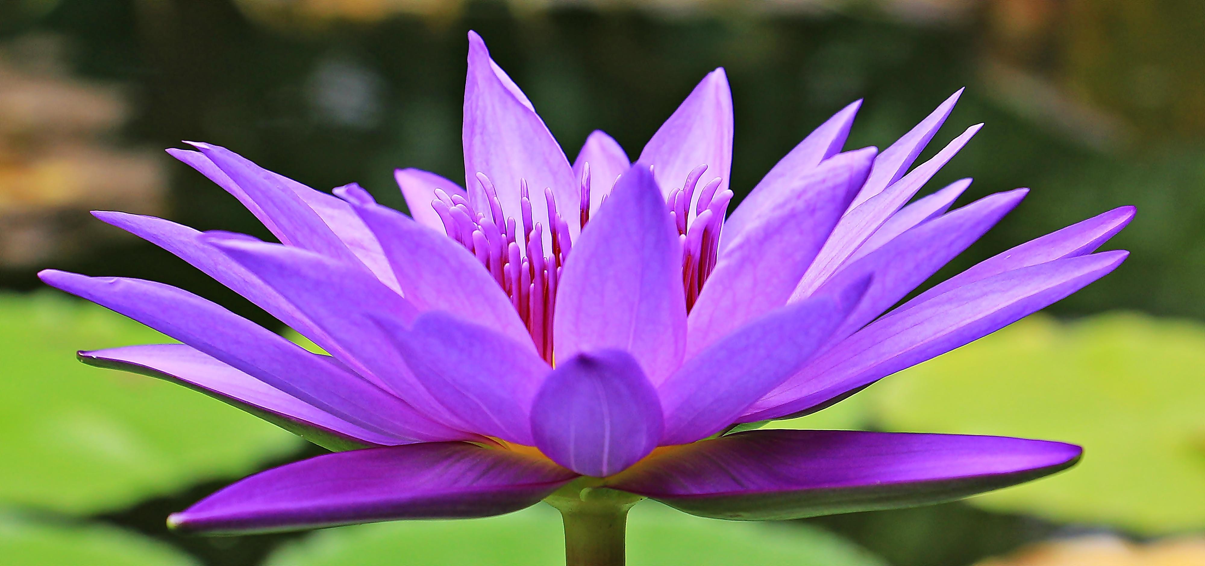 Free Images Nature Petal Bloom Summer Botany Sacred Lotus