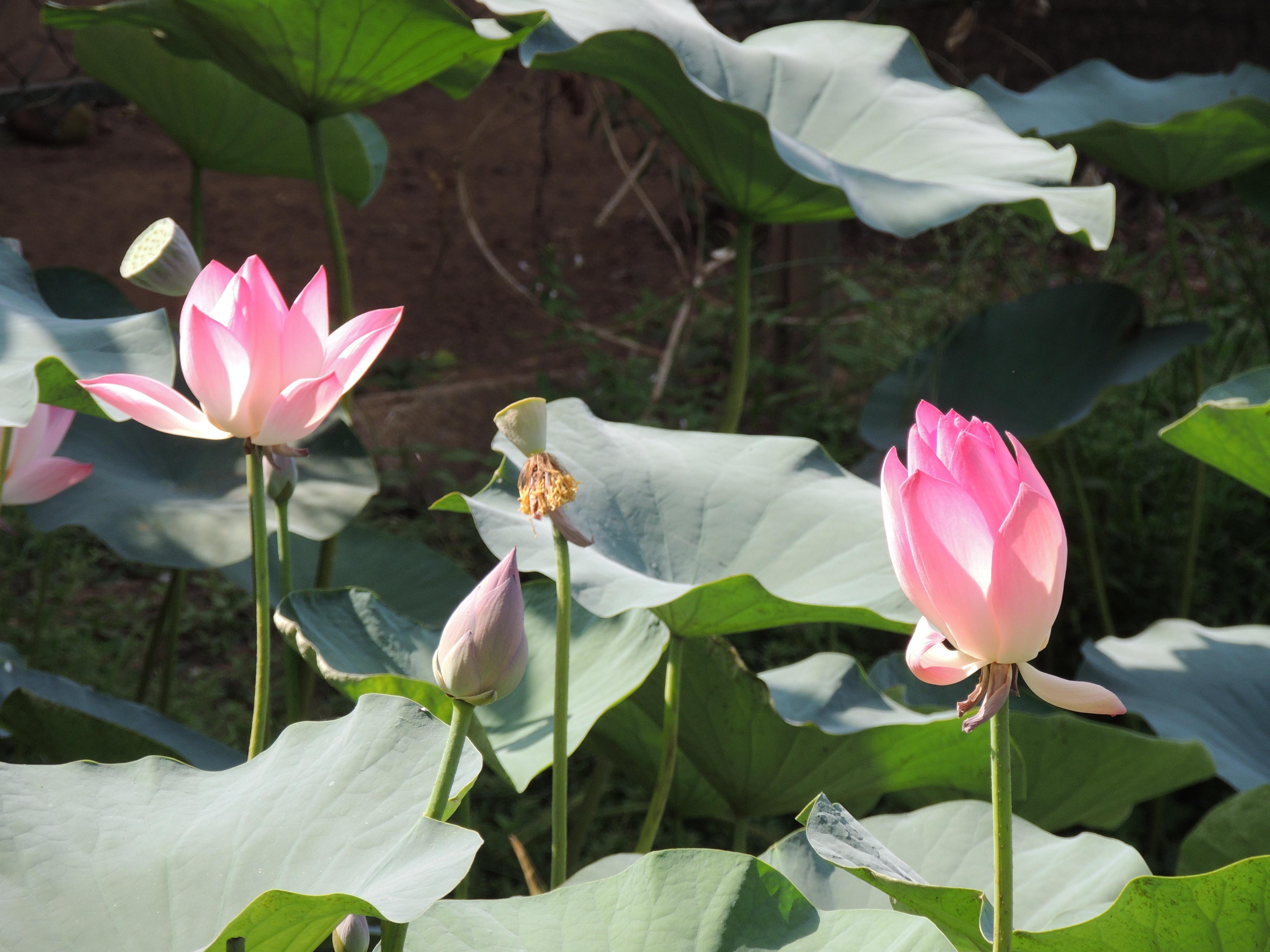 Free Images Water Nature Blossom Leaf Petal Bloom Pond Asia