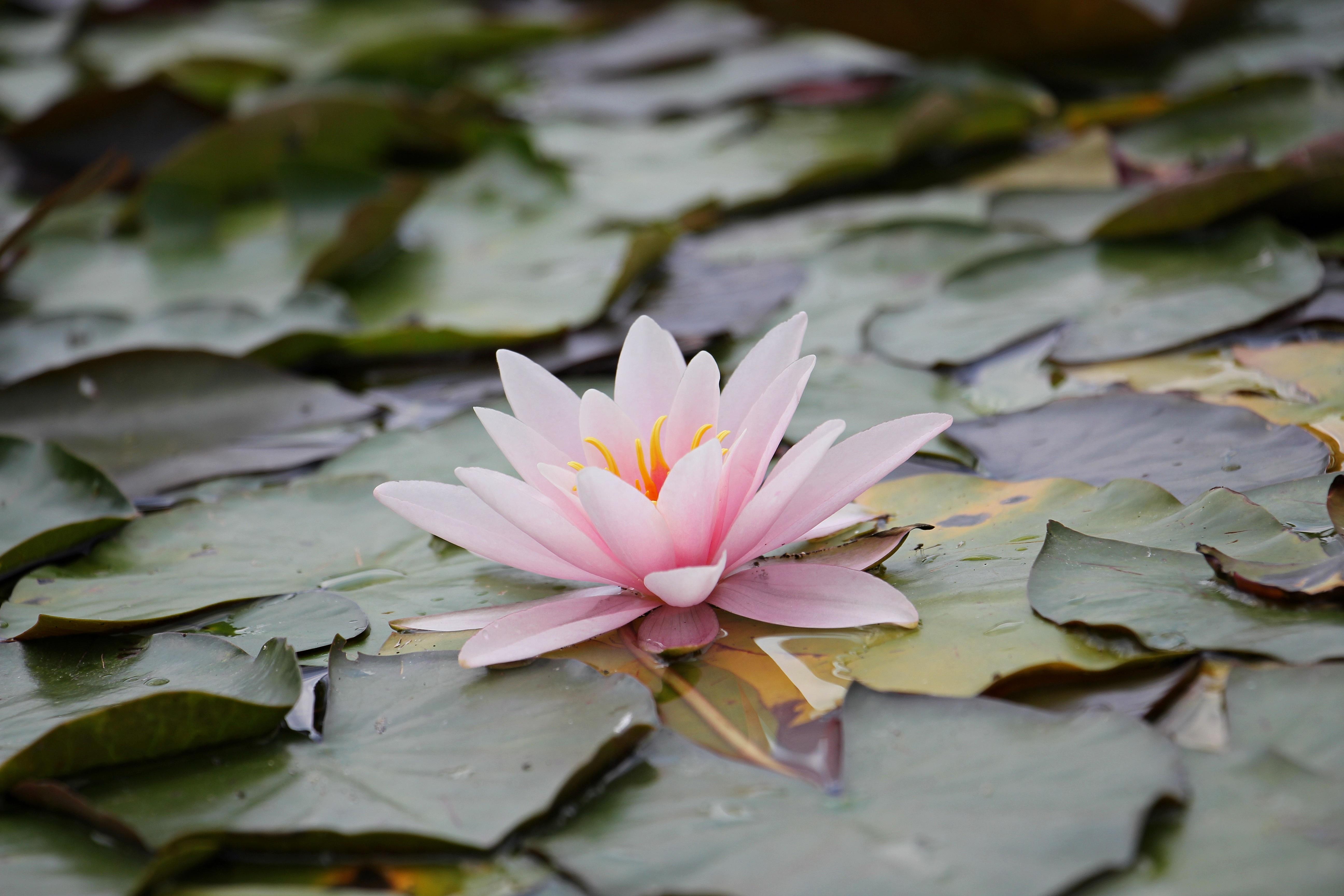 Free Images Nature Blossom Leaf Flower Petal Bloom Pond