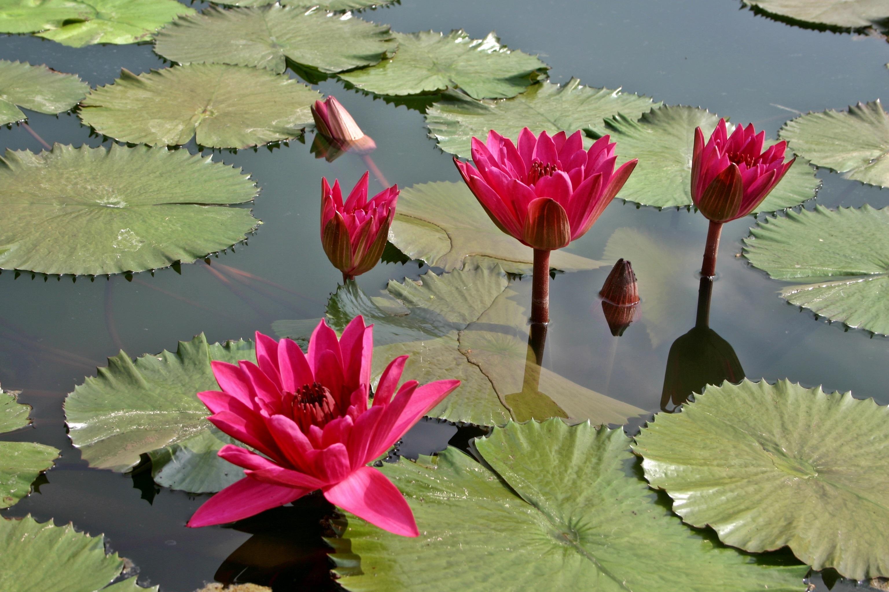 Free Images : nature, blossom, leaf, flower, petal, bloom, rose ...