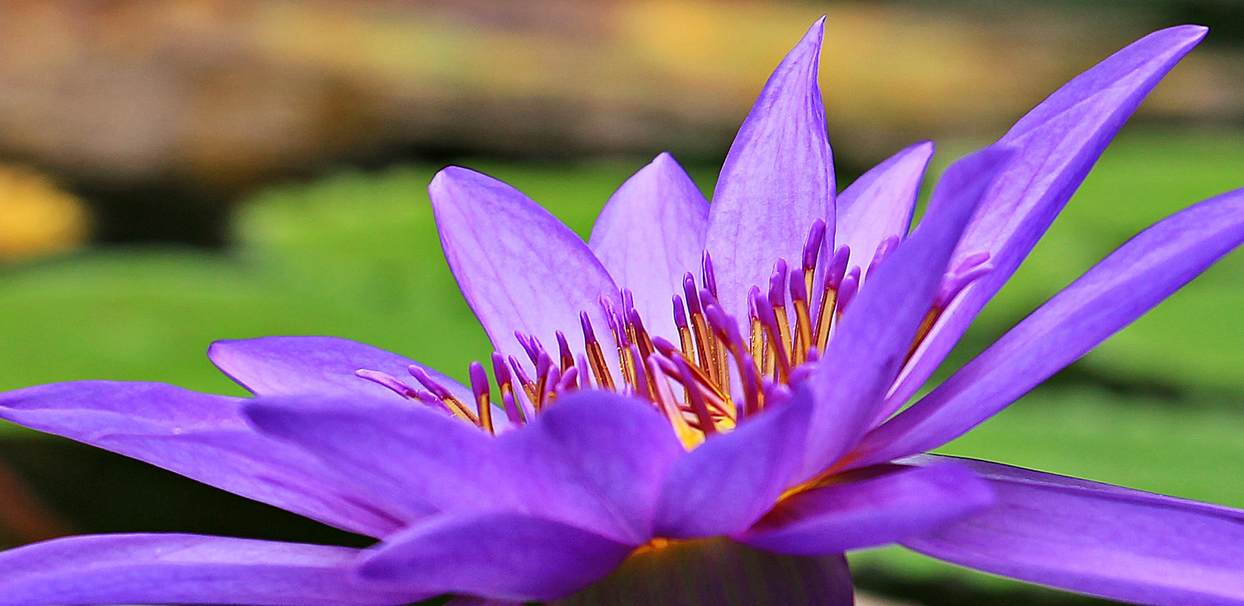 plante aquatique fleur mauve