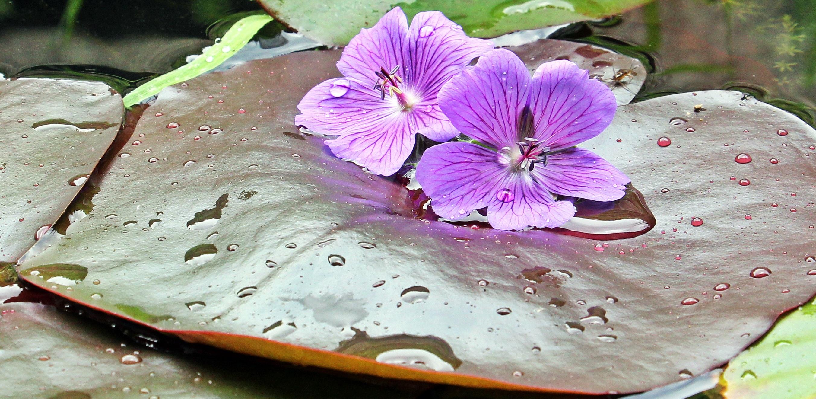Free Images Nature Blossom Rain Petal Botany Pink Aquatic