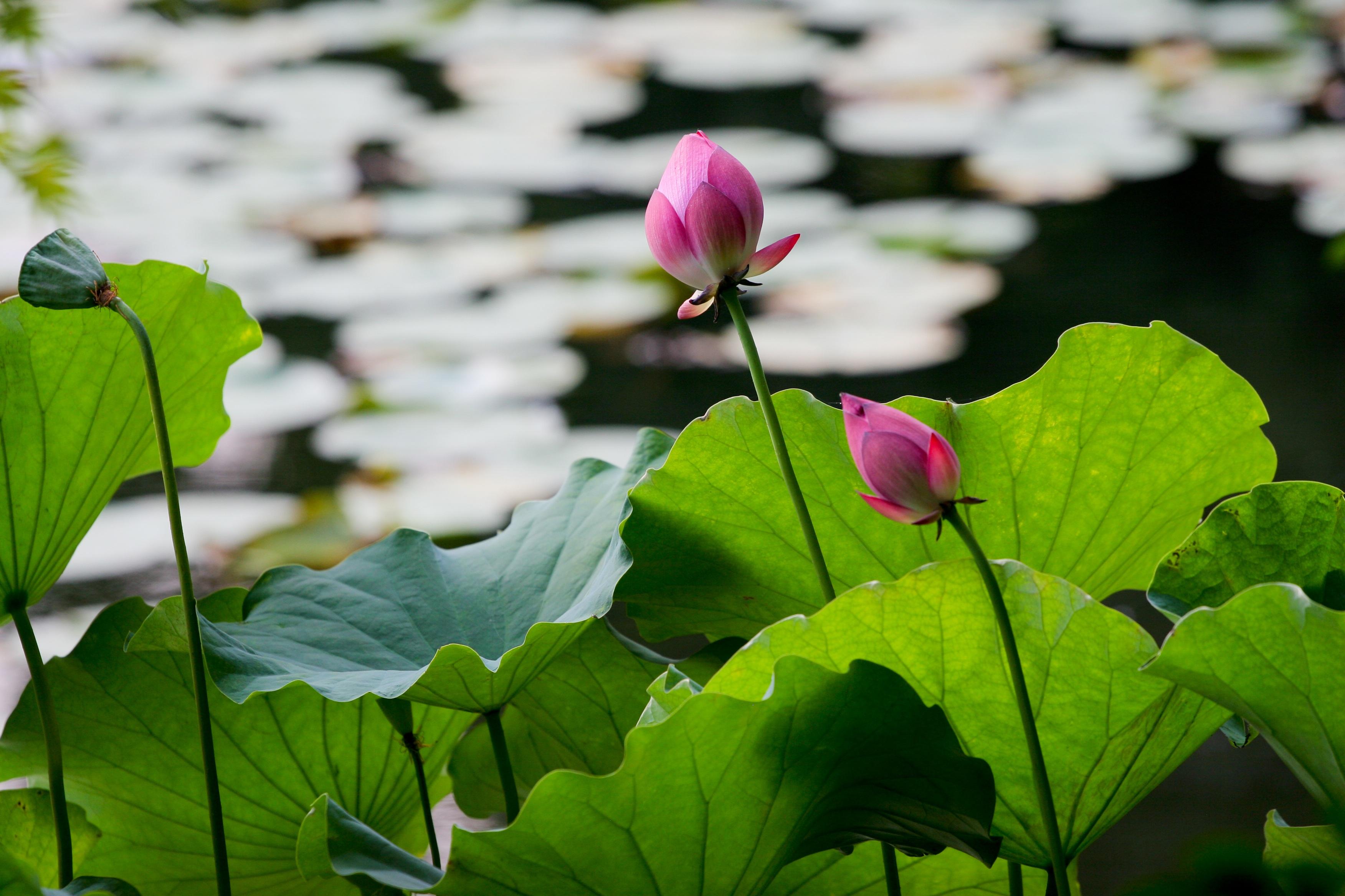 Fotos gratis naturaleza luz de sol hoja p talo verde - Plantas para jardin zen ...