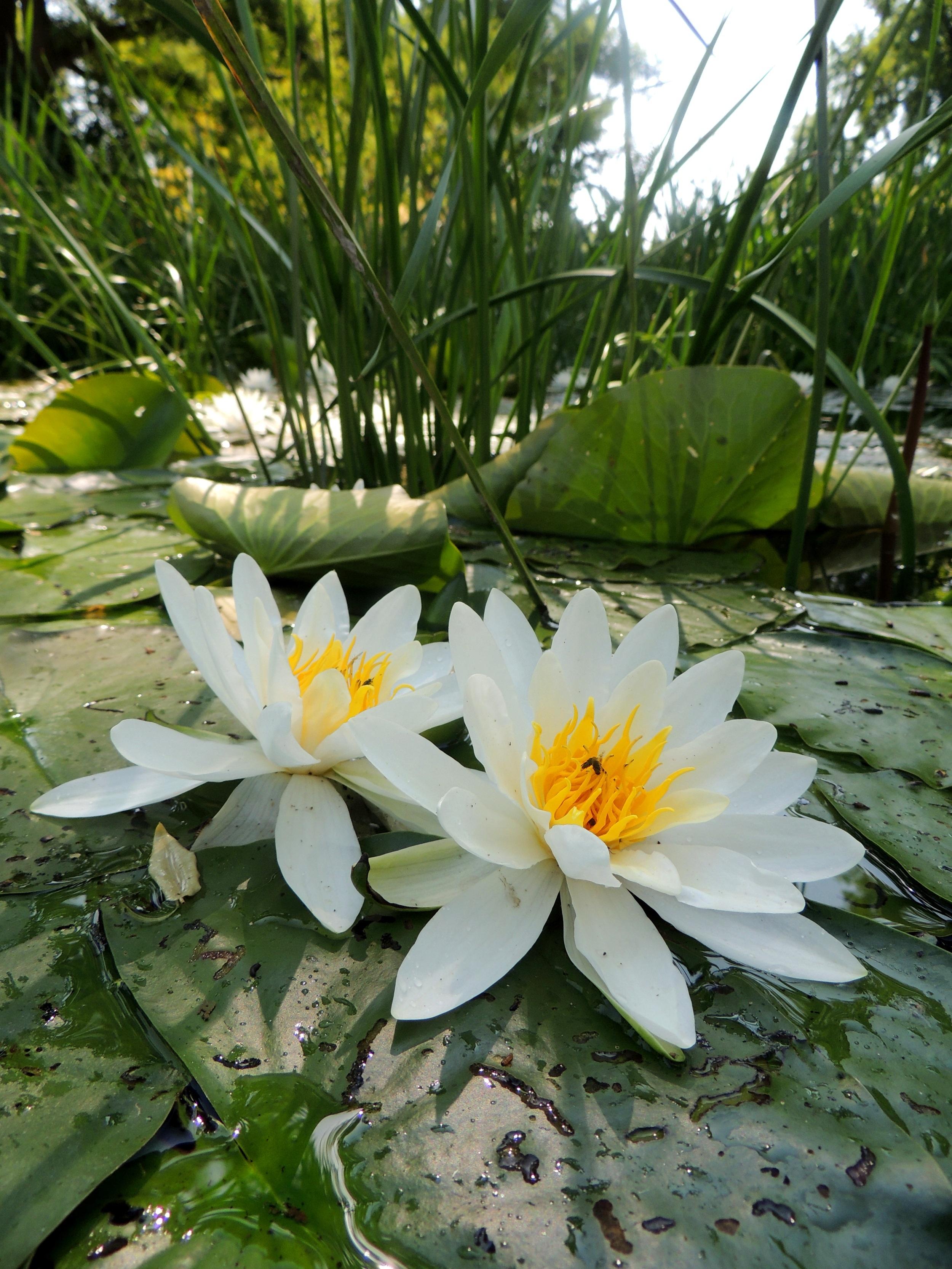 Images Gratuites Eau La Nature Fleur Blanc Floraison Etang