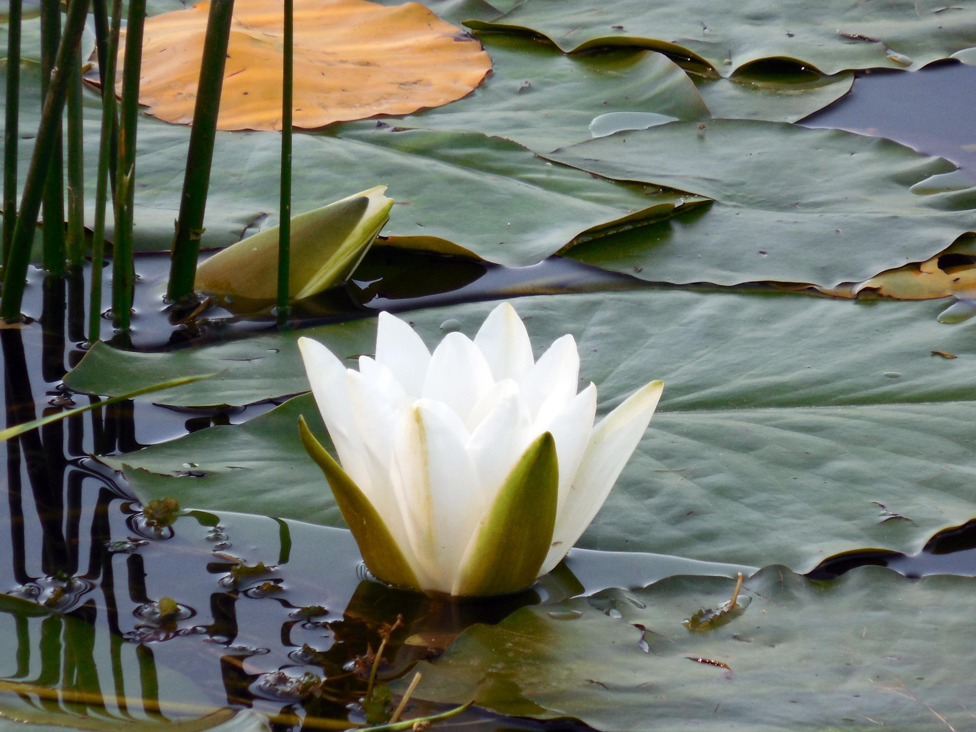 такие картинки белых лилий на воде найди