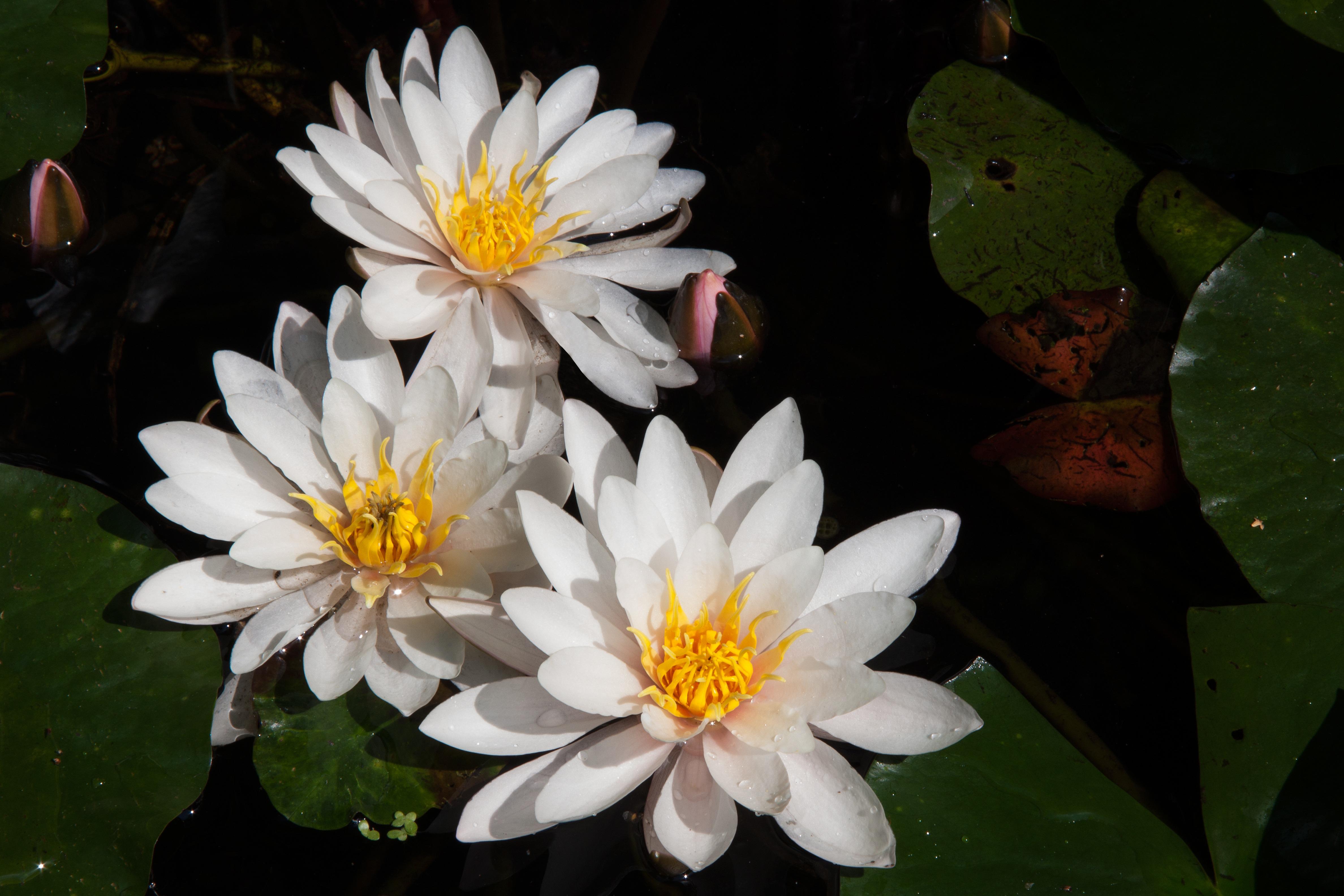 Fotos gratis agua naturaleza flor blanco hoja for Agua verde estanque