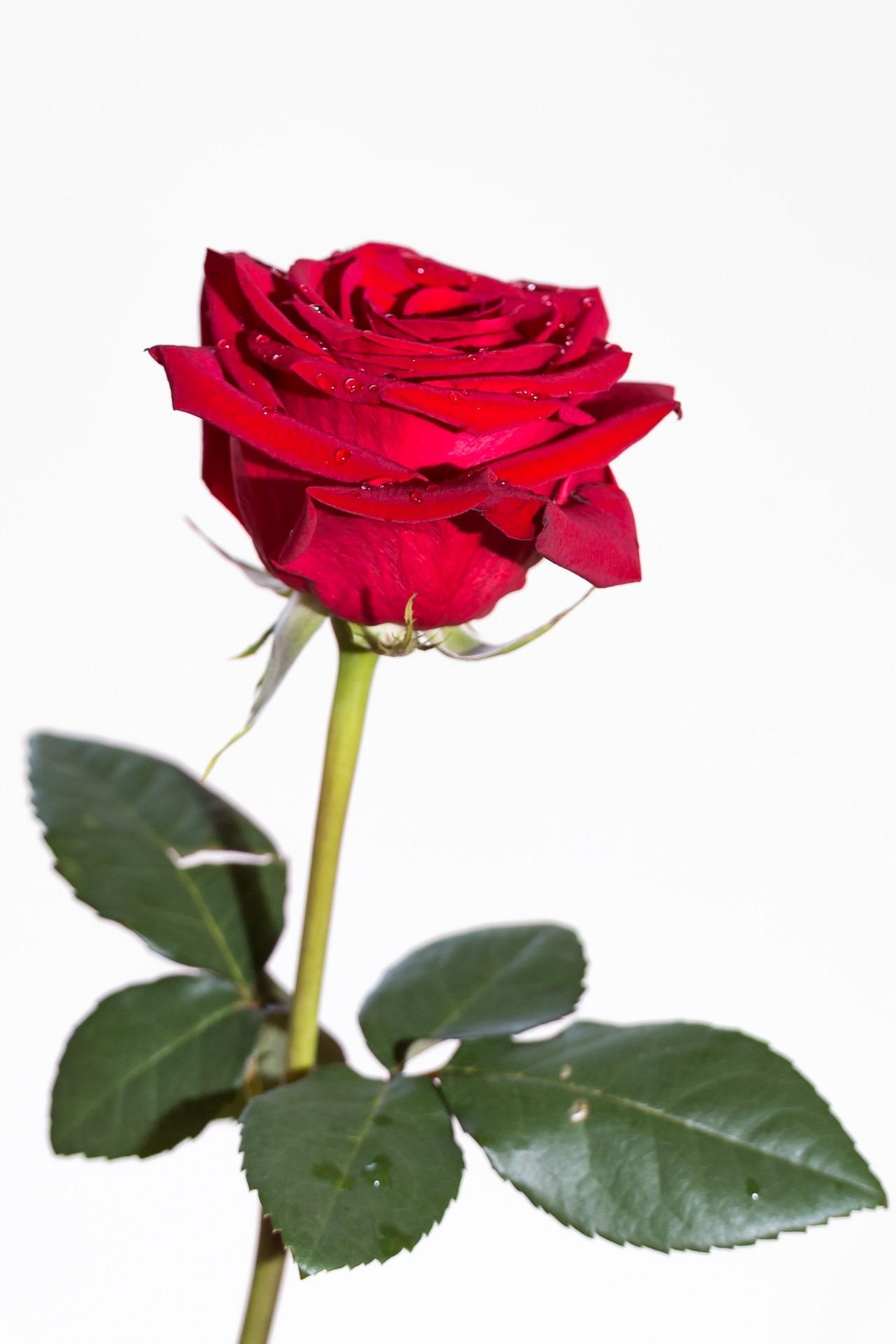 картинки одного цветка розы стремительный рост банковских