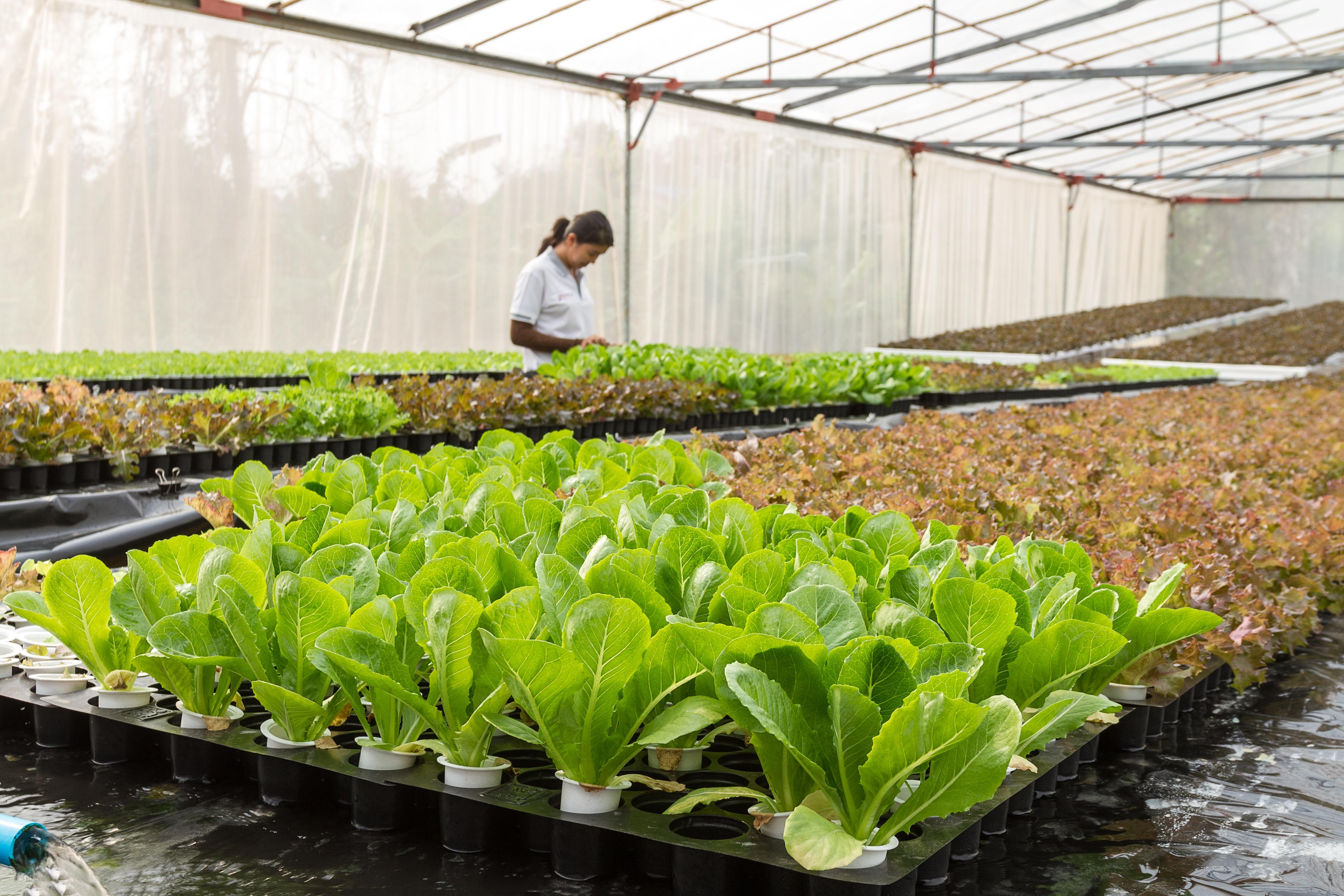 Бизнес на выращивании салата руб прибыли с 1 гектара
